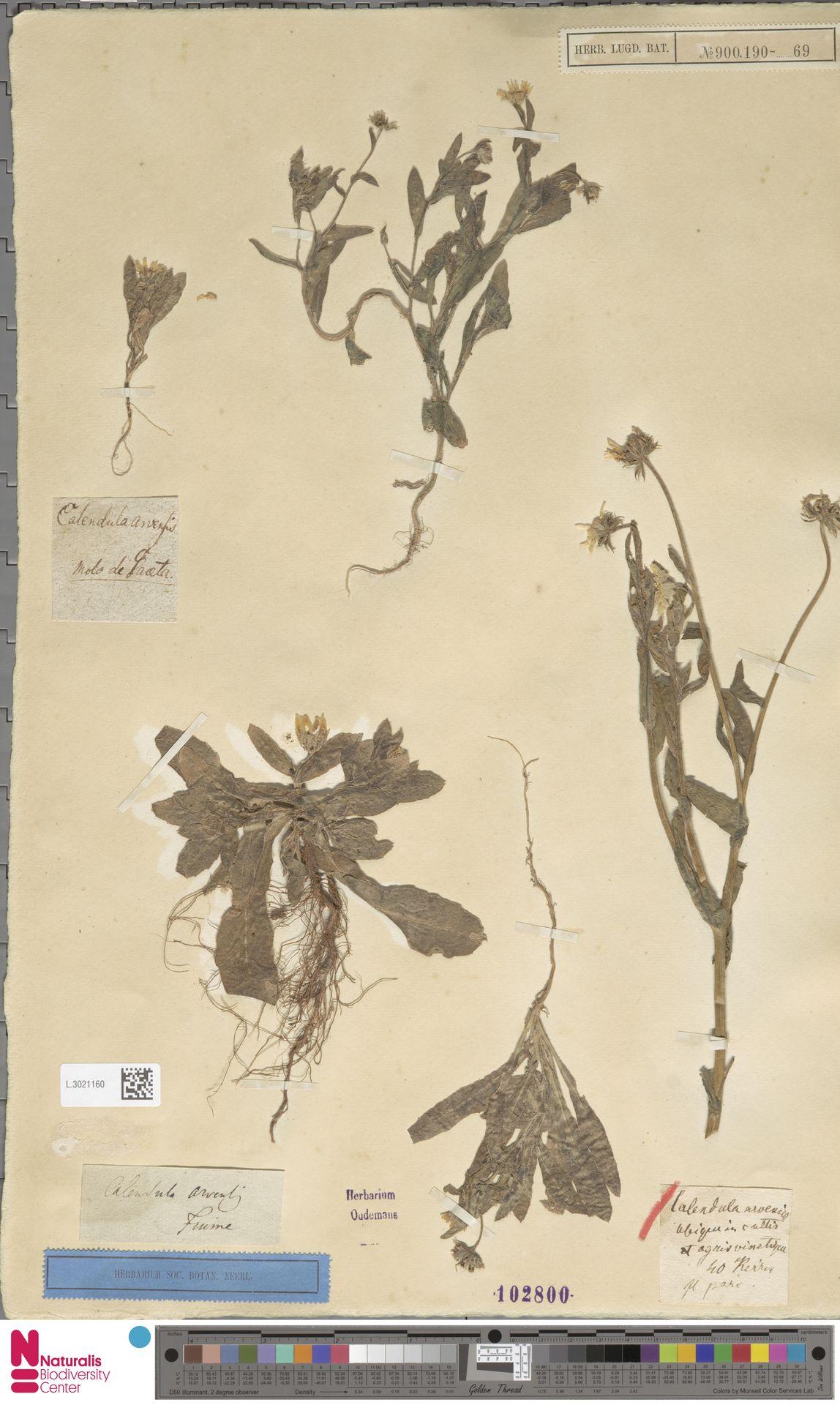 L.3021160   Calendula arvensis (Vaill.) L.