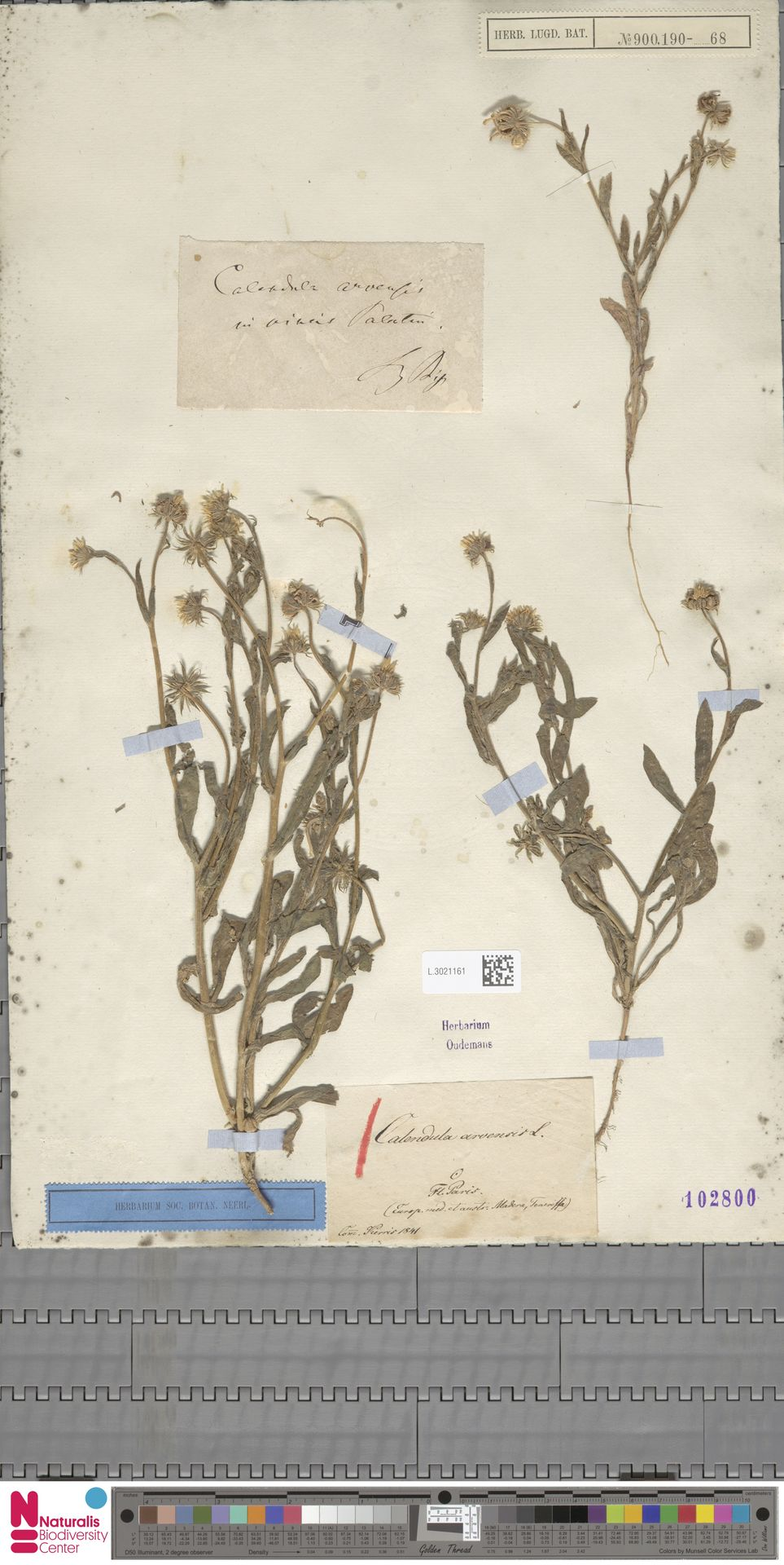 L.3021161 | Calendula arvensis (Vaill.) L.