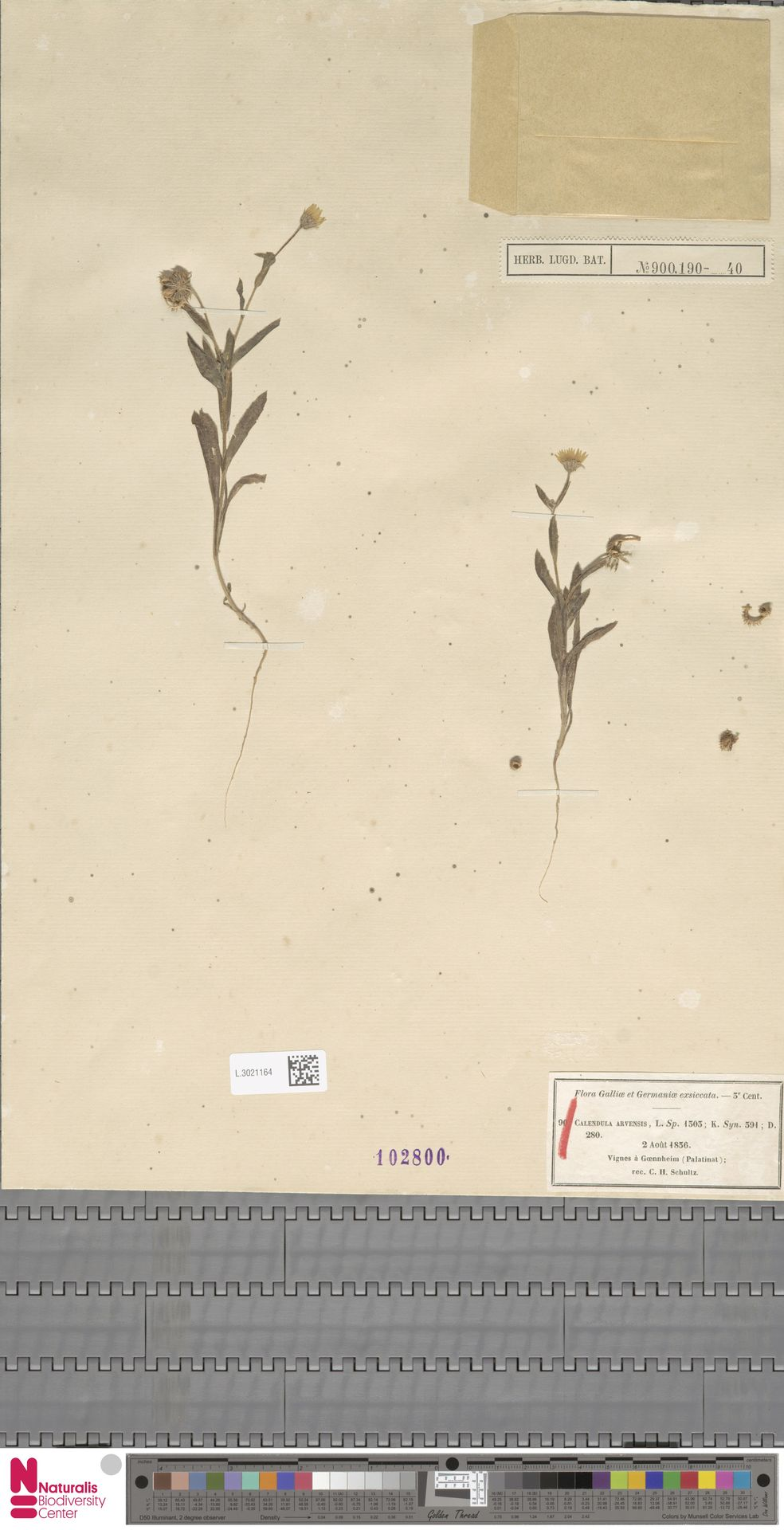 L.3021164 | Calendula arvensis (Vaill.) L.