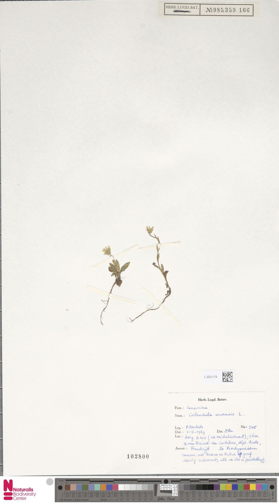 L.3021179 | Calendula arvensis (Vaill.) L.