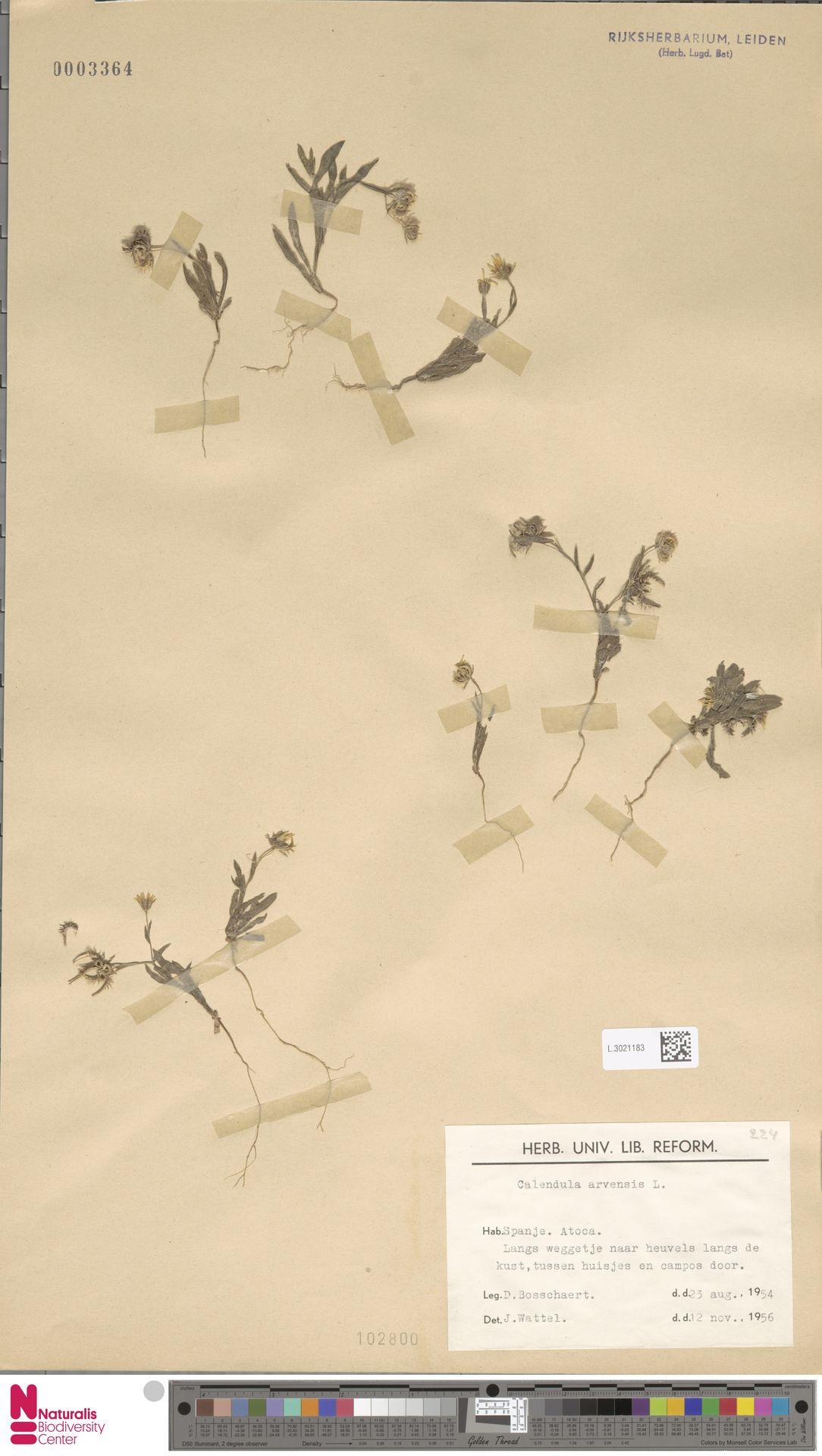 L.3021183 | Calendula arvensis (Vaill.) L.