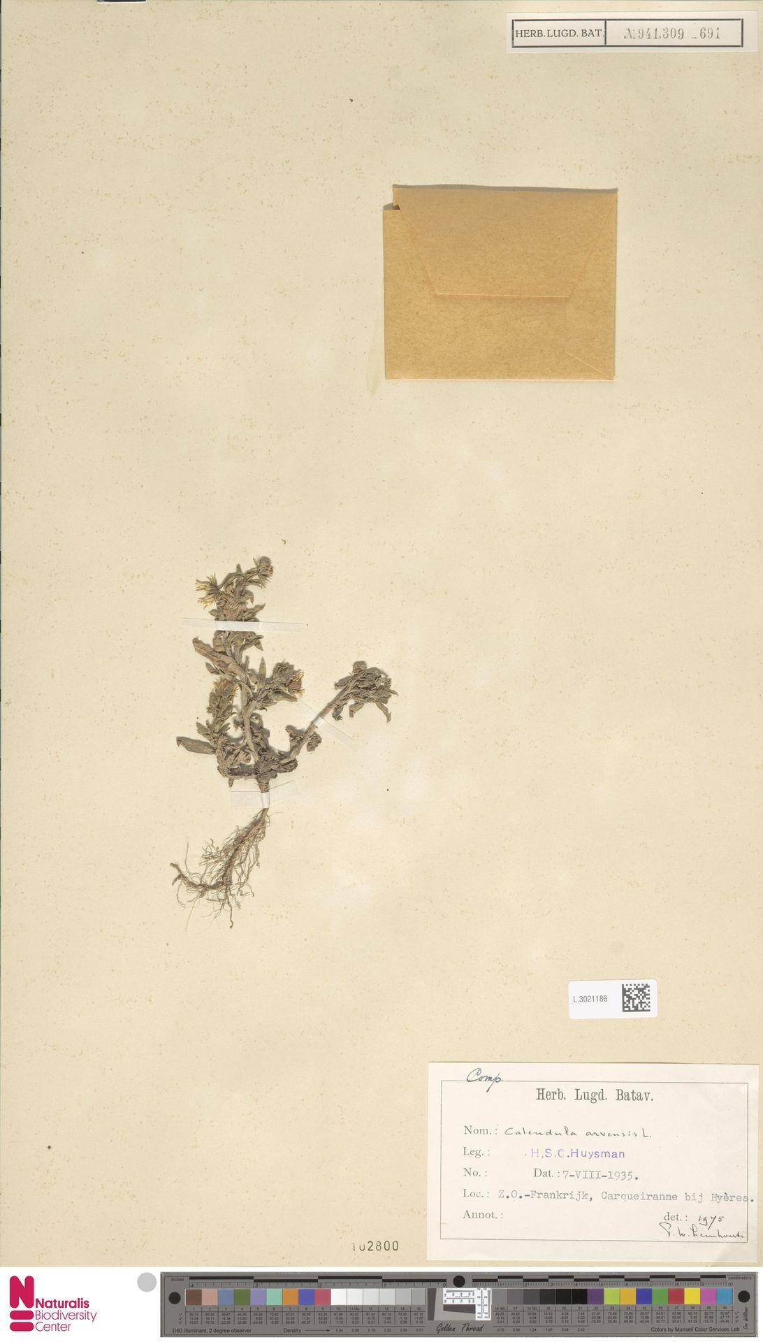 L.3021186   Calendula arvensis (Vaill.) L.