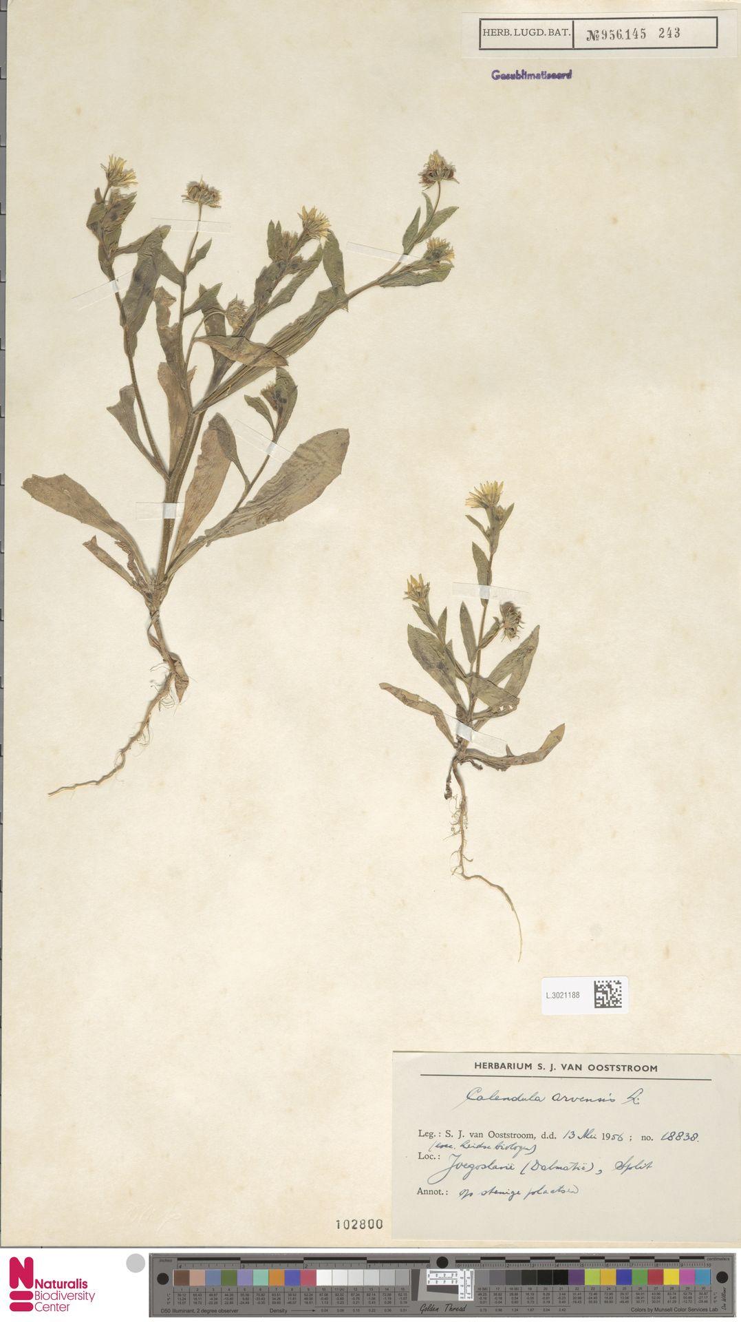 L.3021188   Calendula arvensis (Vaill.) L.