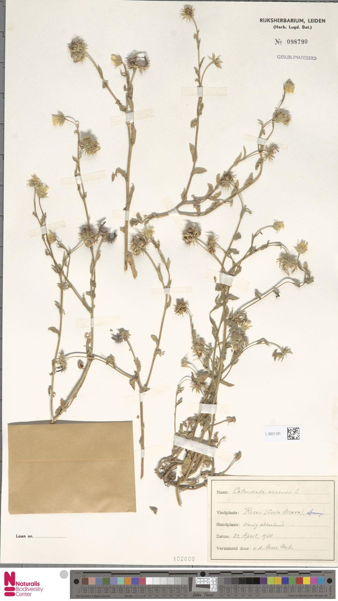L.3021191 | Calendula arvensis (Vaill.) L.
