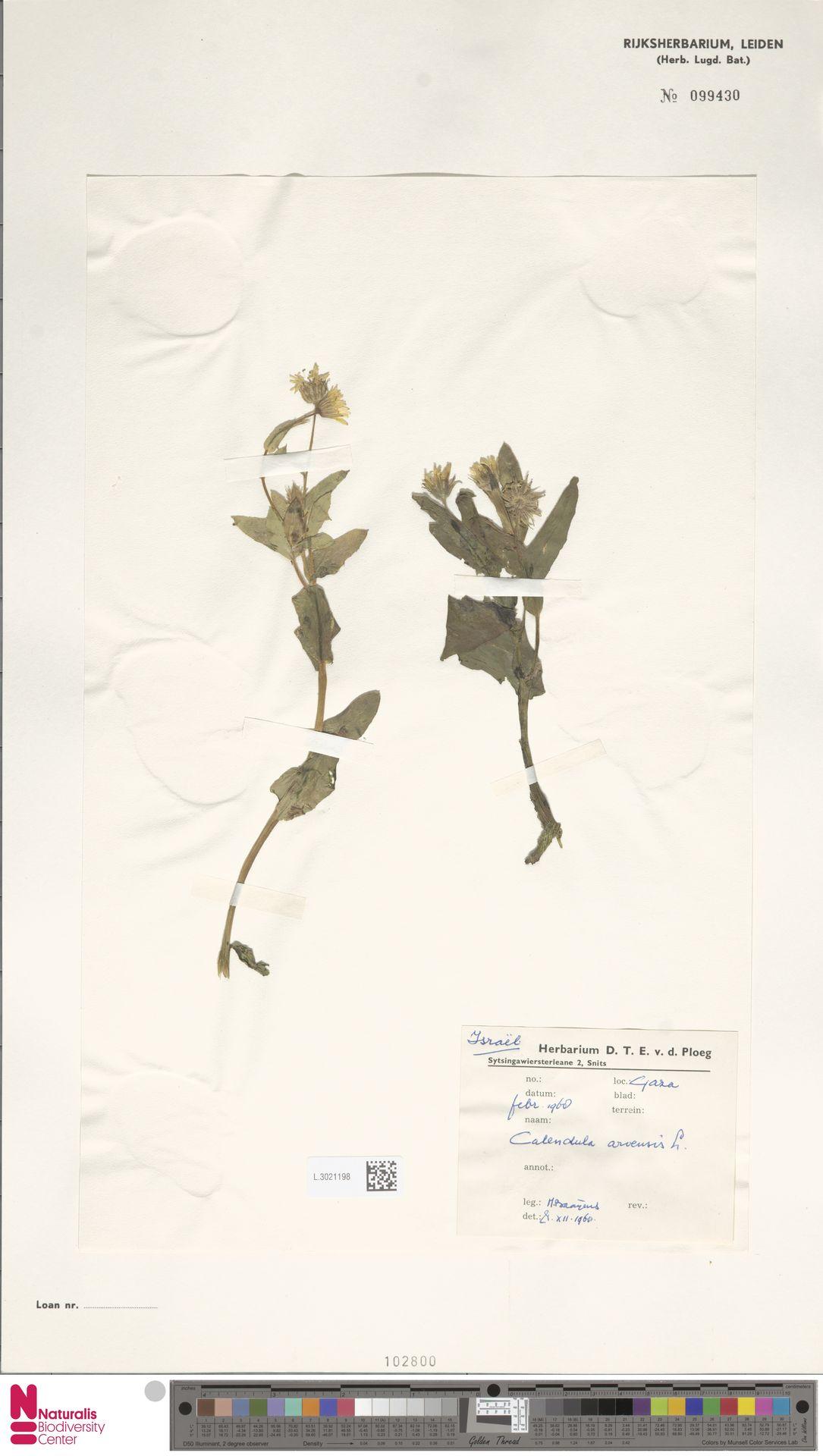 L.3021198 | Calendula arvensis (Vaill.) L.