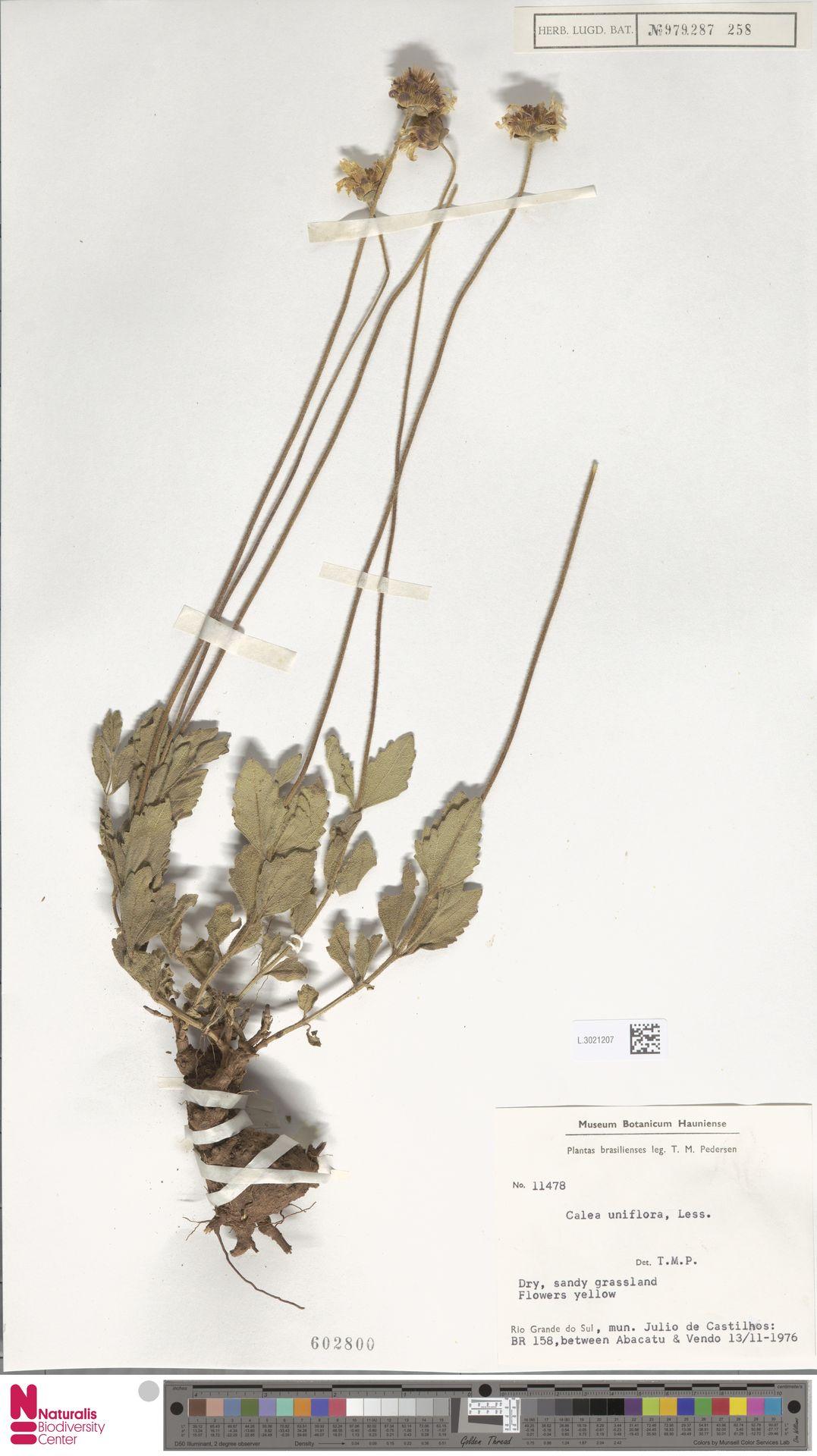 L.3021207 | Calea uniflora Less.