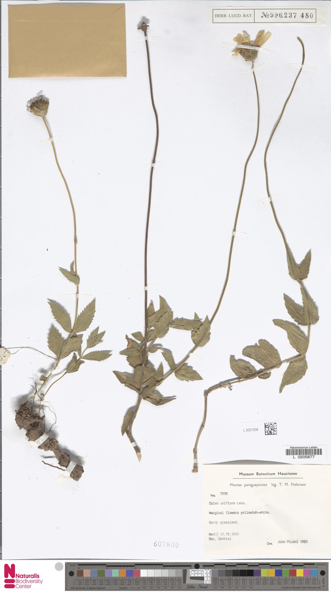 L.3021208 | Calea uniflora Less.