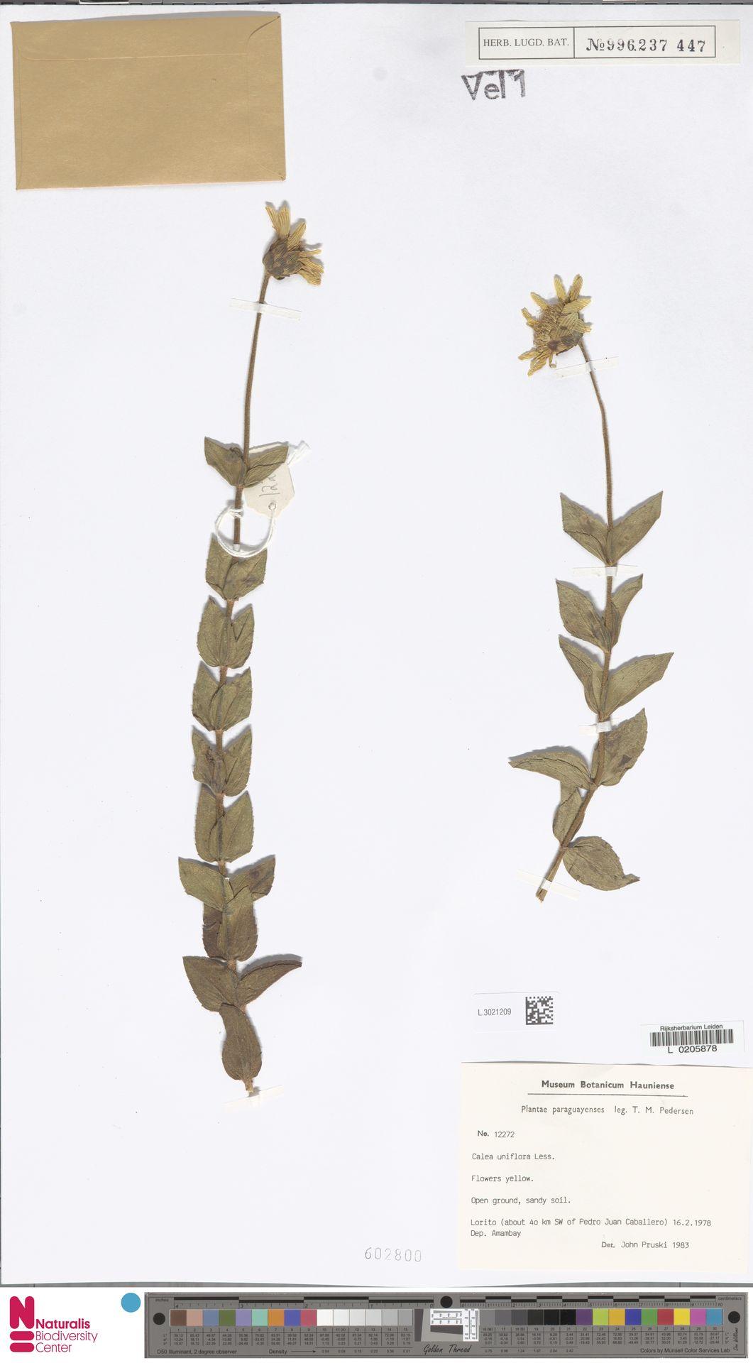 L.3021209   Calea uniflora Less.