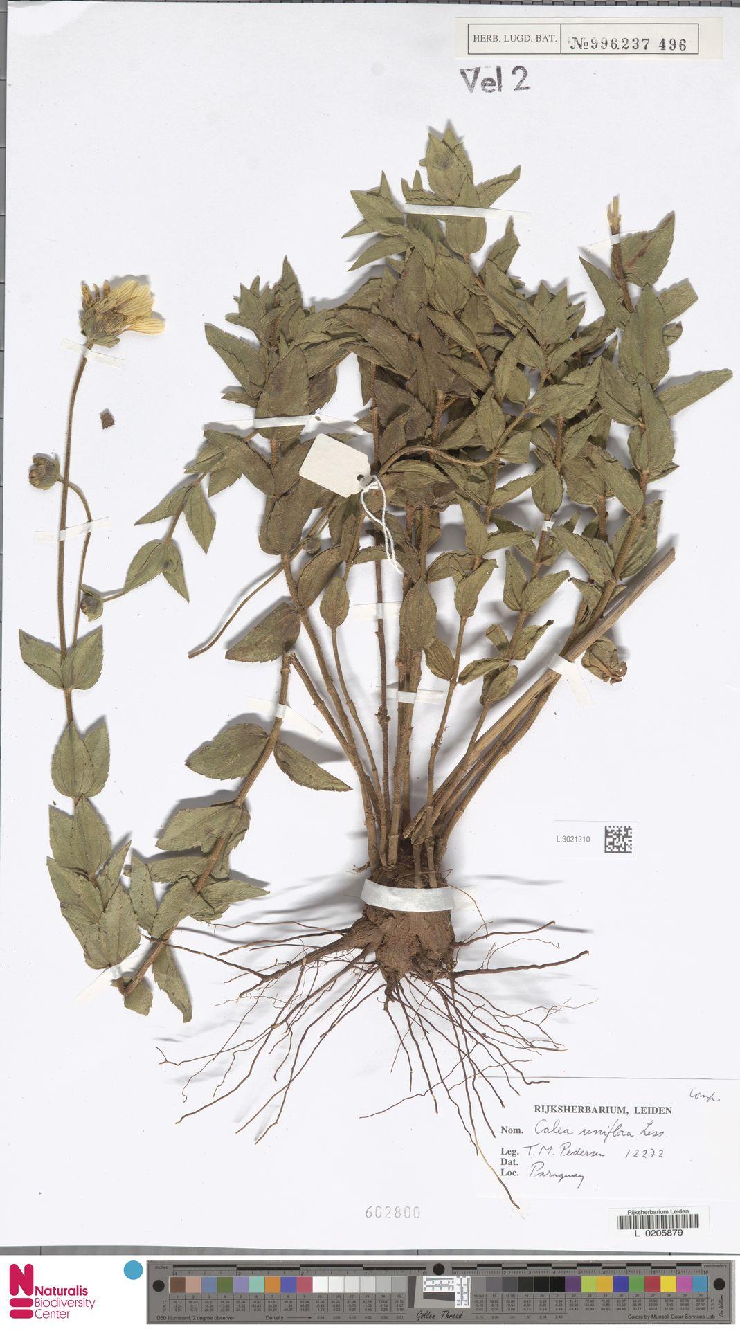 L.3021210   Calea uniflora Less.