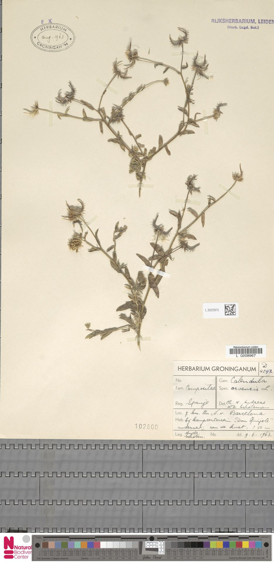 L.3022975 | Calendula arvensis (Vaill.) L.