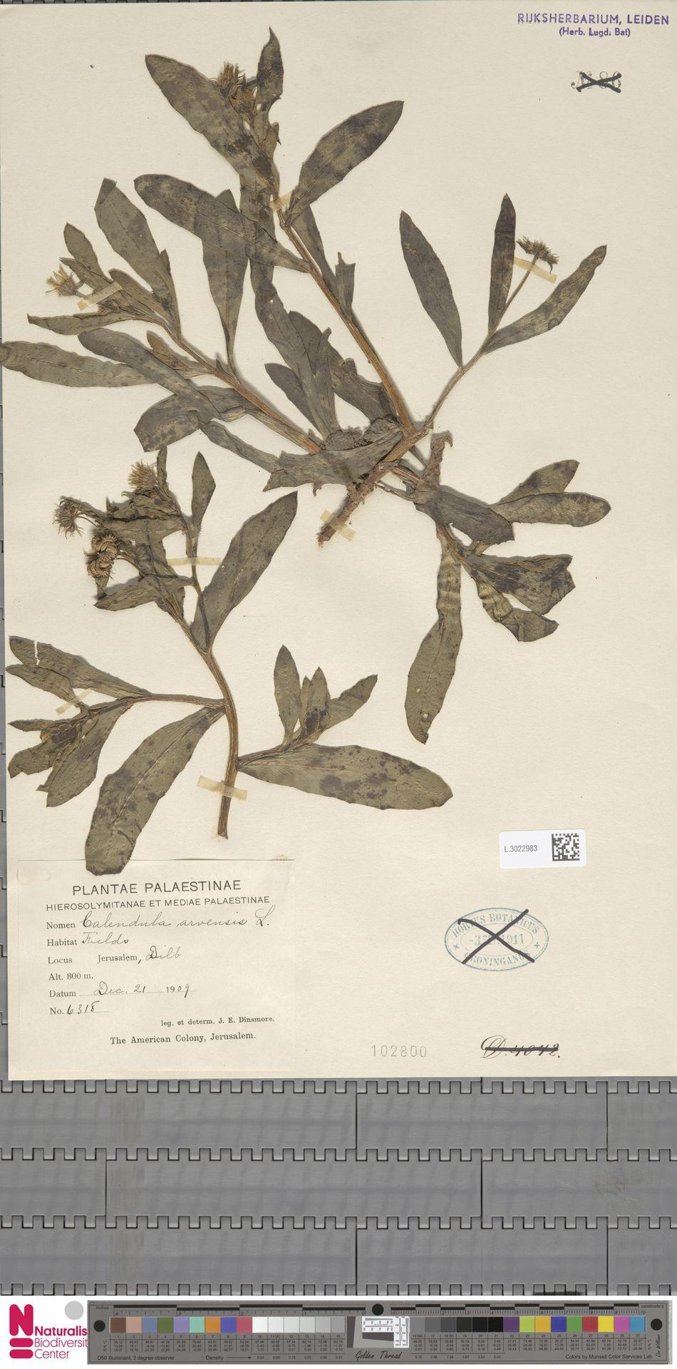 L.3022983 | Calendula arvensis (Vaill.) L.
