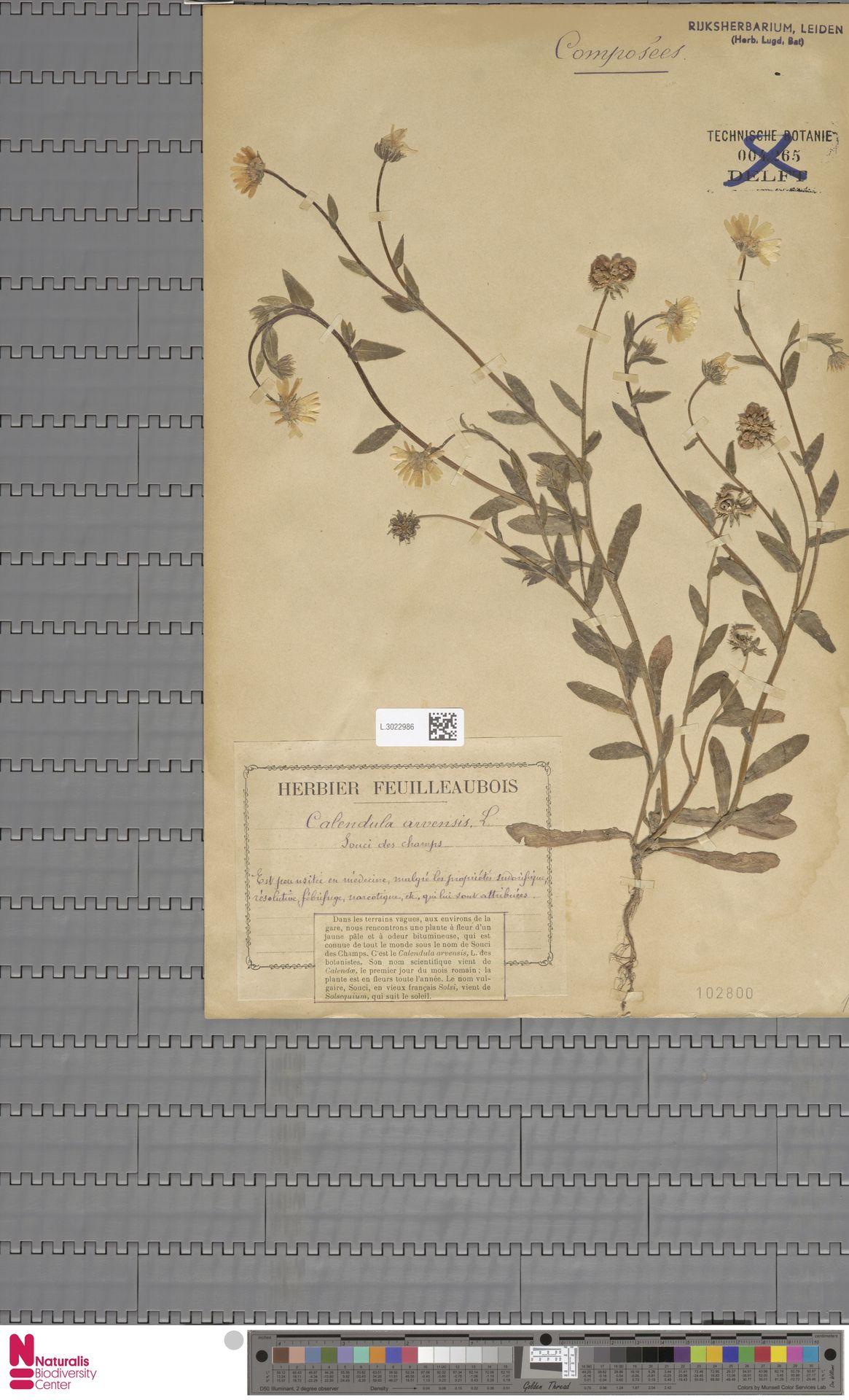 L.3022986 | Calendula arvensis (Vaill.) L.