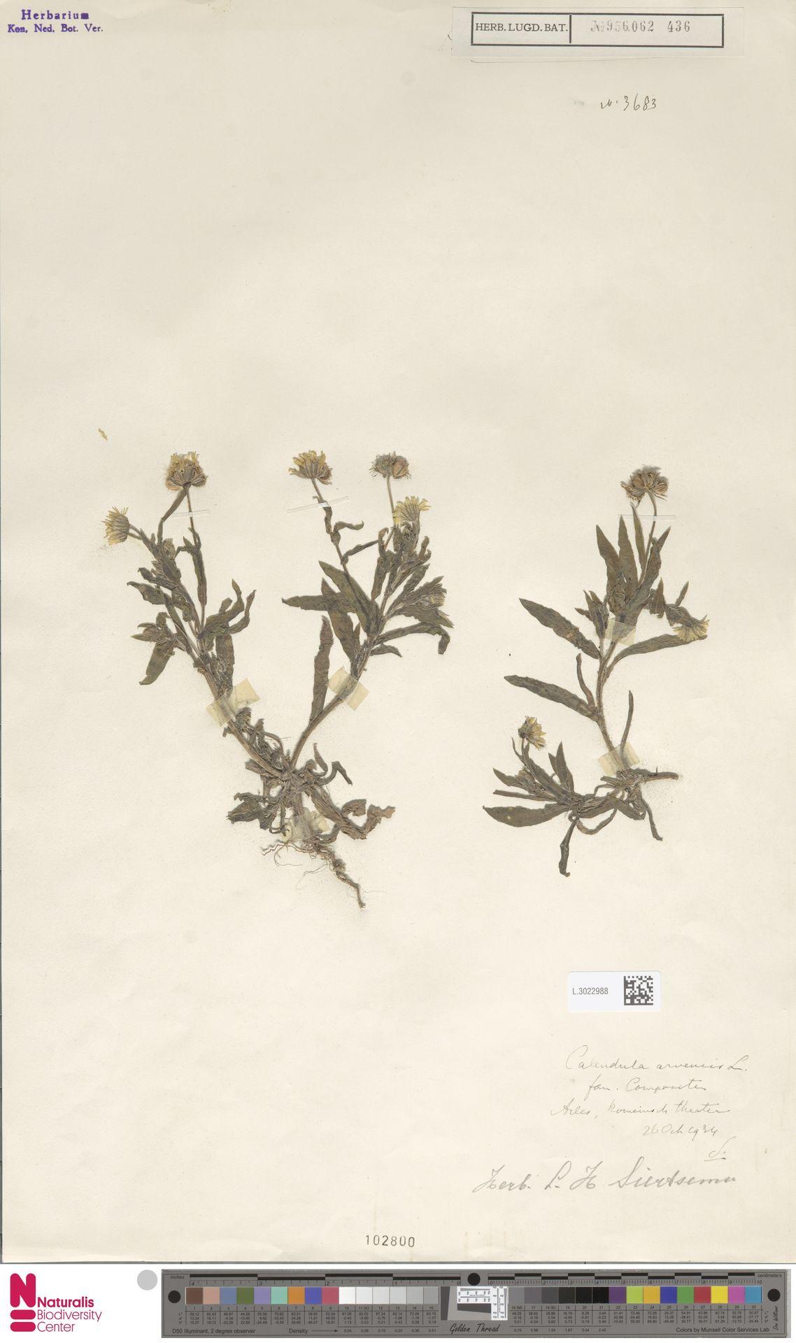 L.3022988 | Calendula arvensis (Vaill.) L.
