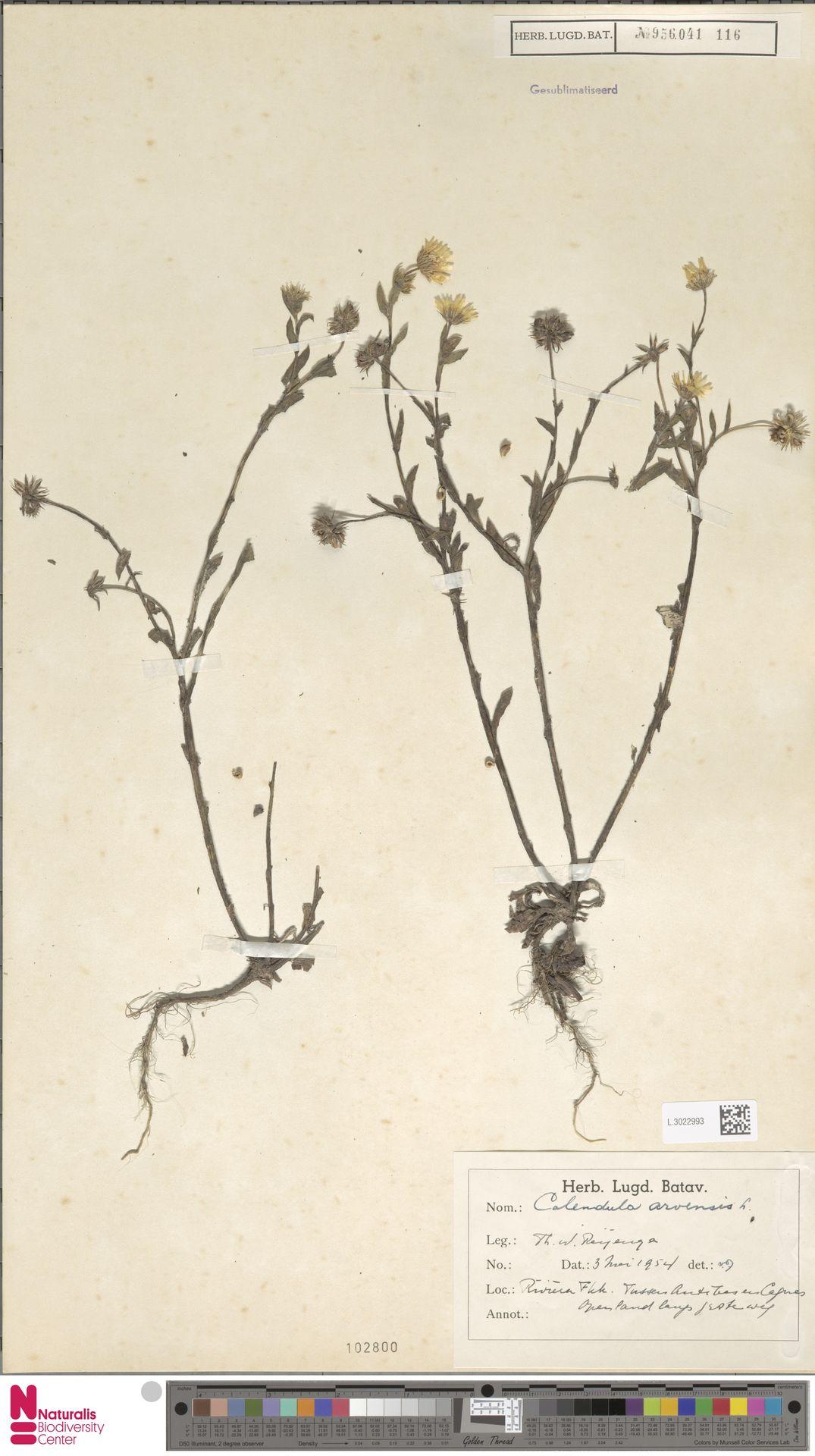 L.3022993 | Calendula arvensis (Vaill.) L.