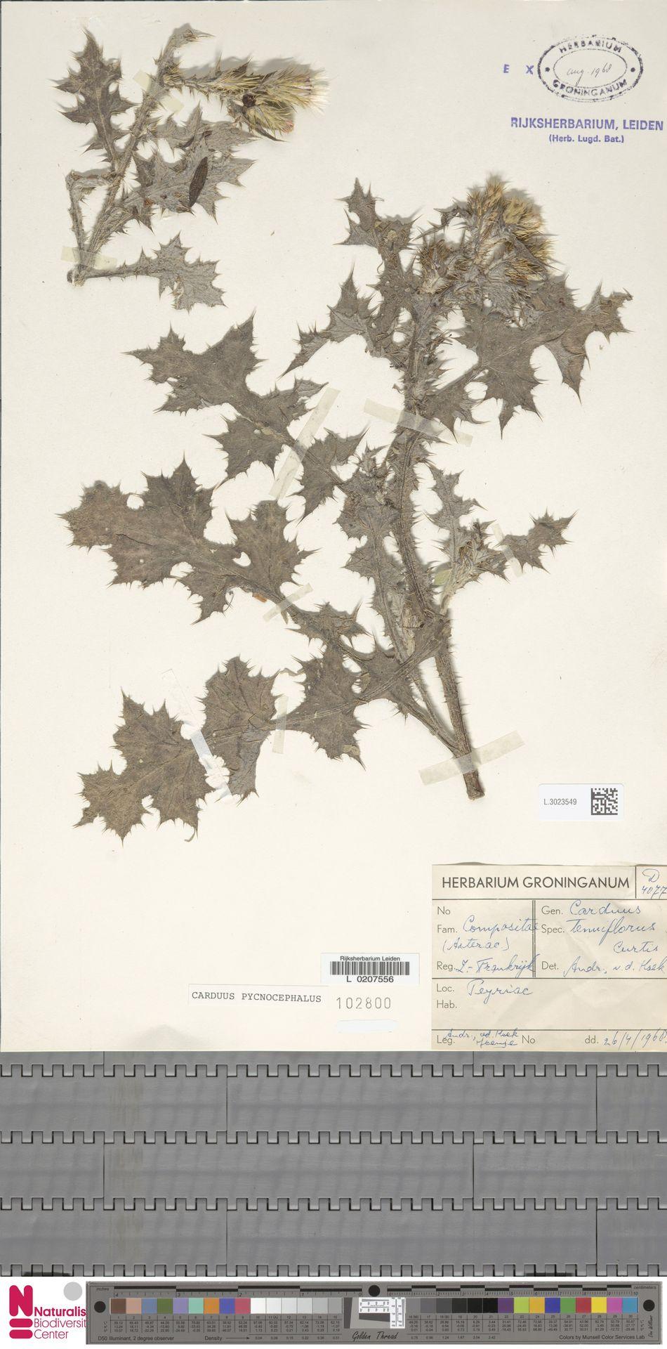 L.3023549 | Carduus pycnocephalus L.