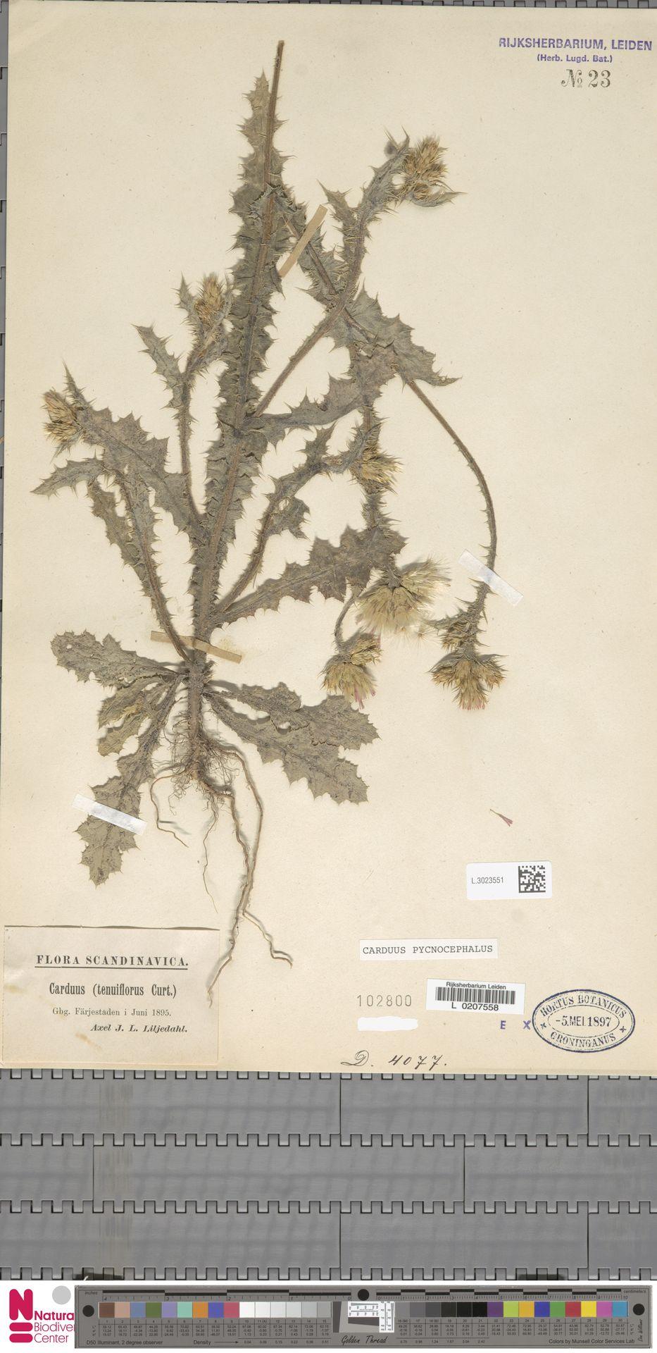 L.3023551 | Carduus pycnocephalus L.
