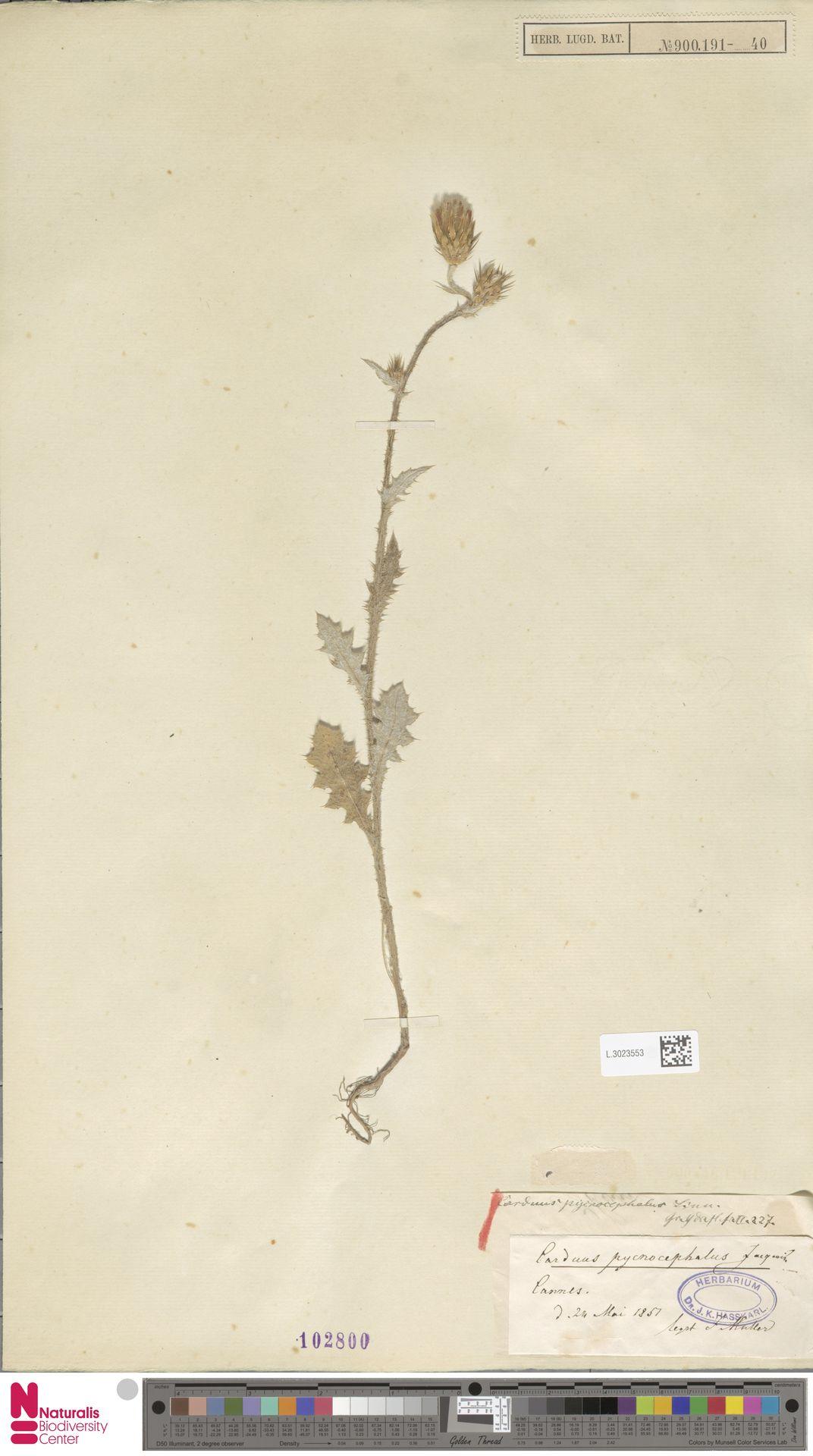 L.3023553 | Carduus pycnocephalus L.