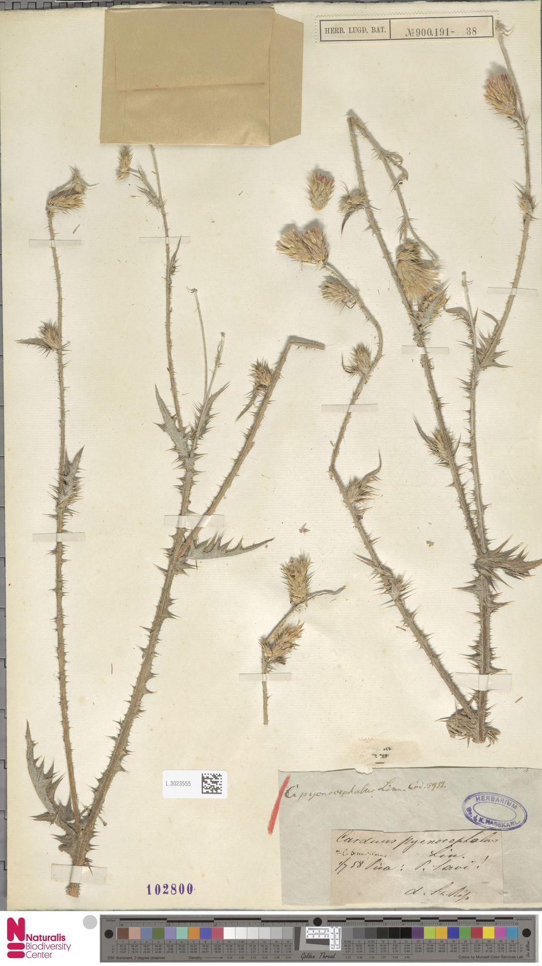 L.3023555 | Carduus pycnocephalus L.