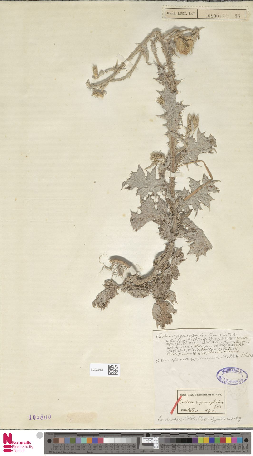 L.3023556 | Carduus pycnocephalus L.