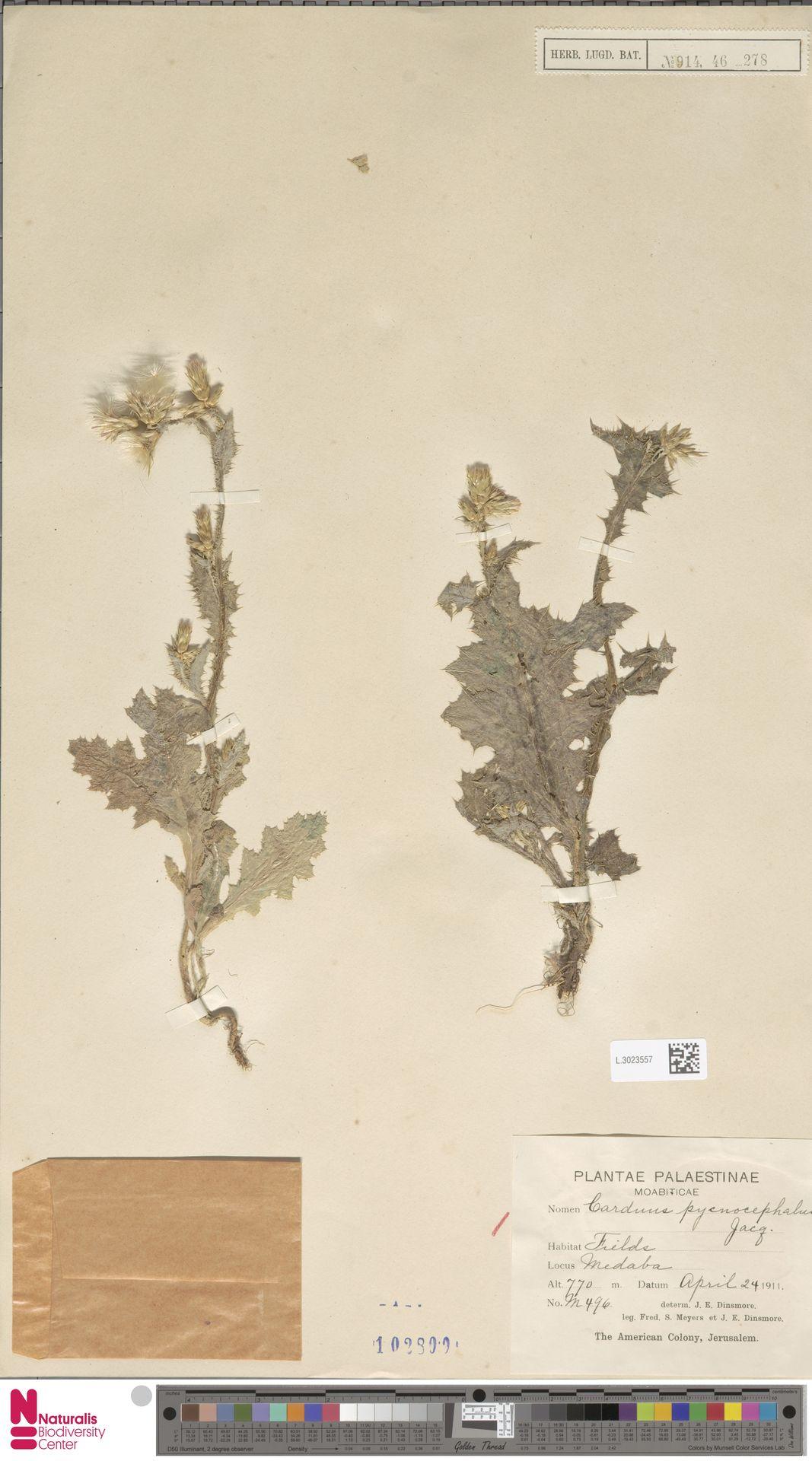 L.3023557 | Carduus pycnocephalus L.