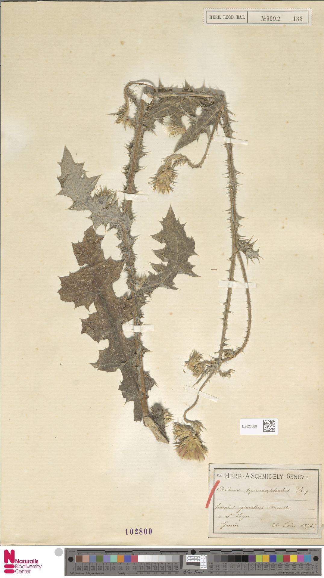 L.3023560 | Carduus pycnocephalus L.