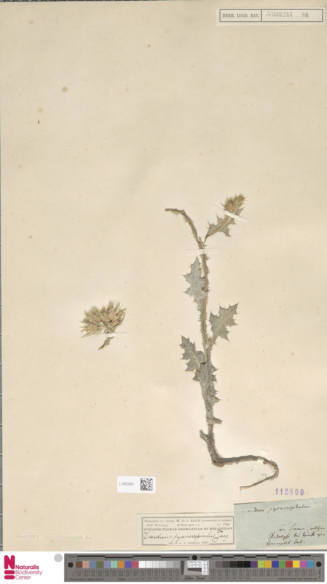 L.3023561   Carduus pycnocephalus L.