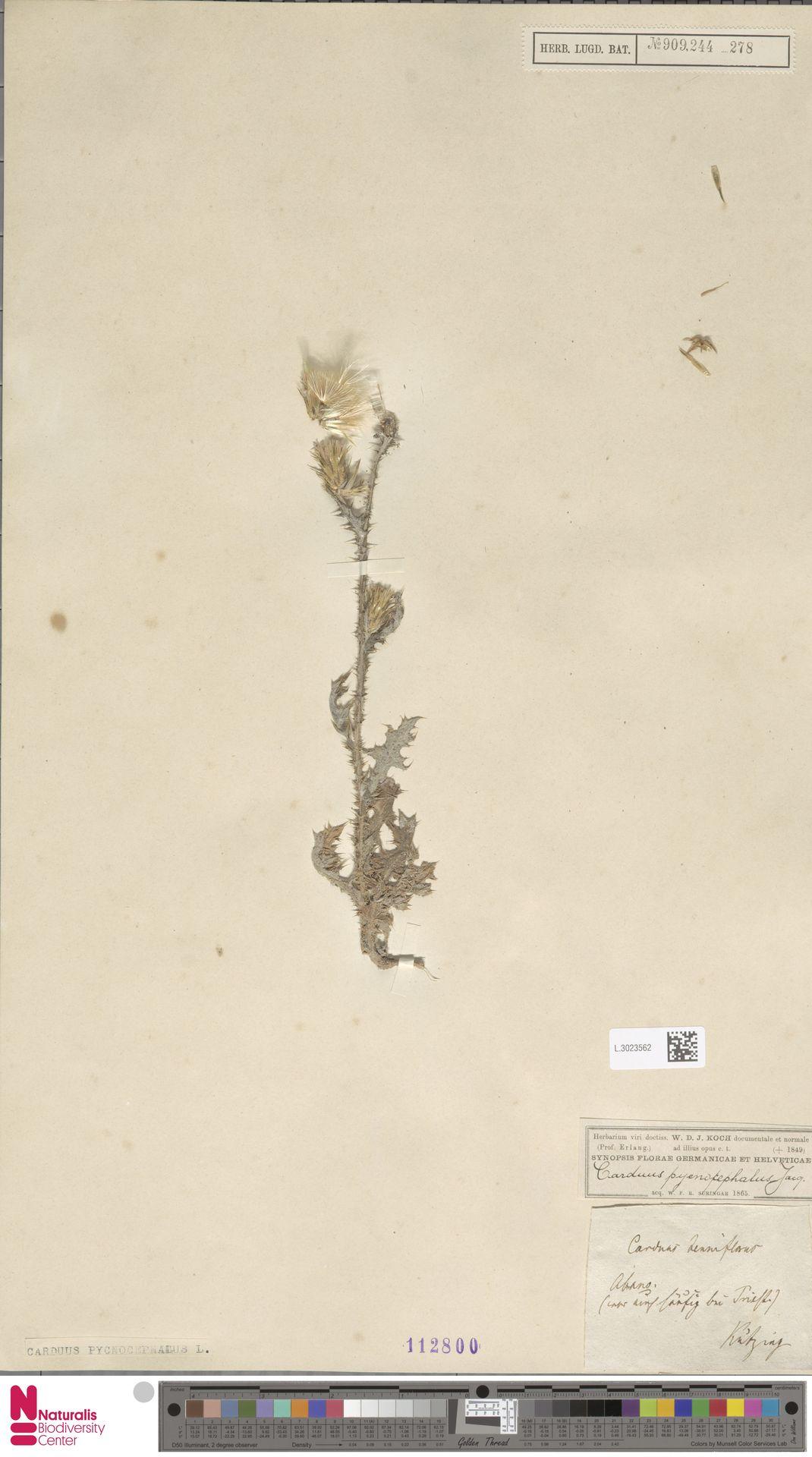 L.3023562 | Carduus pycnocephalus L.