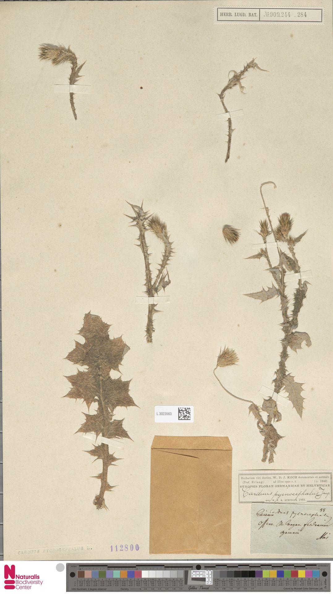 L.3023563 | Carduus pycnocephalus L.
