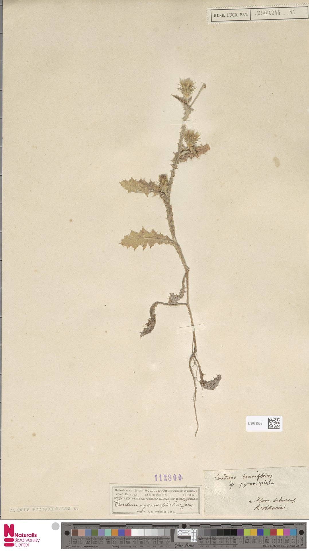 L.3023565 | Carduus pycnocephalus L.