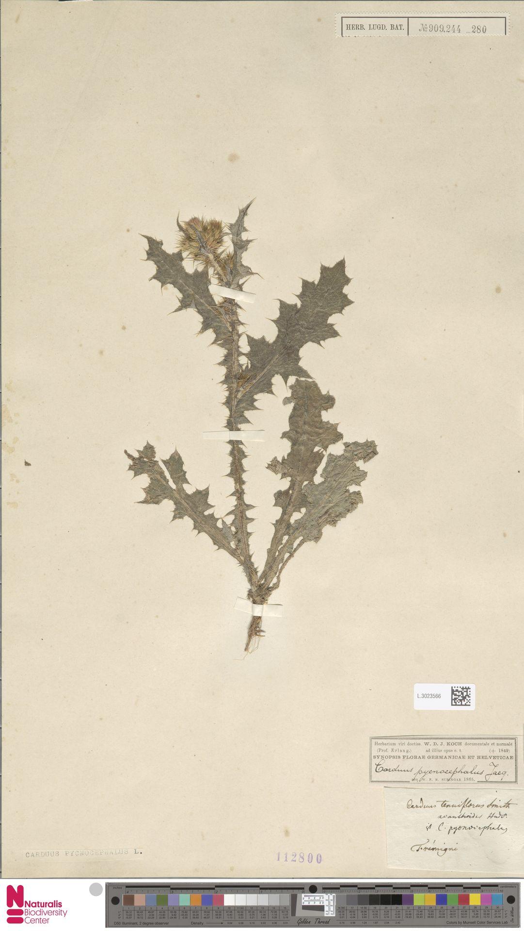 L.3023566 | Carduus pycnocephalus L.