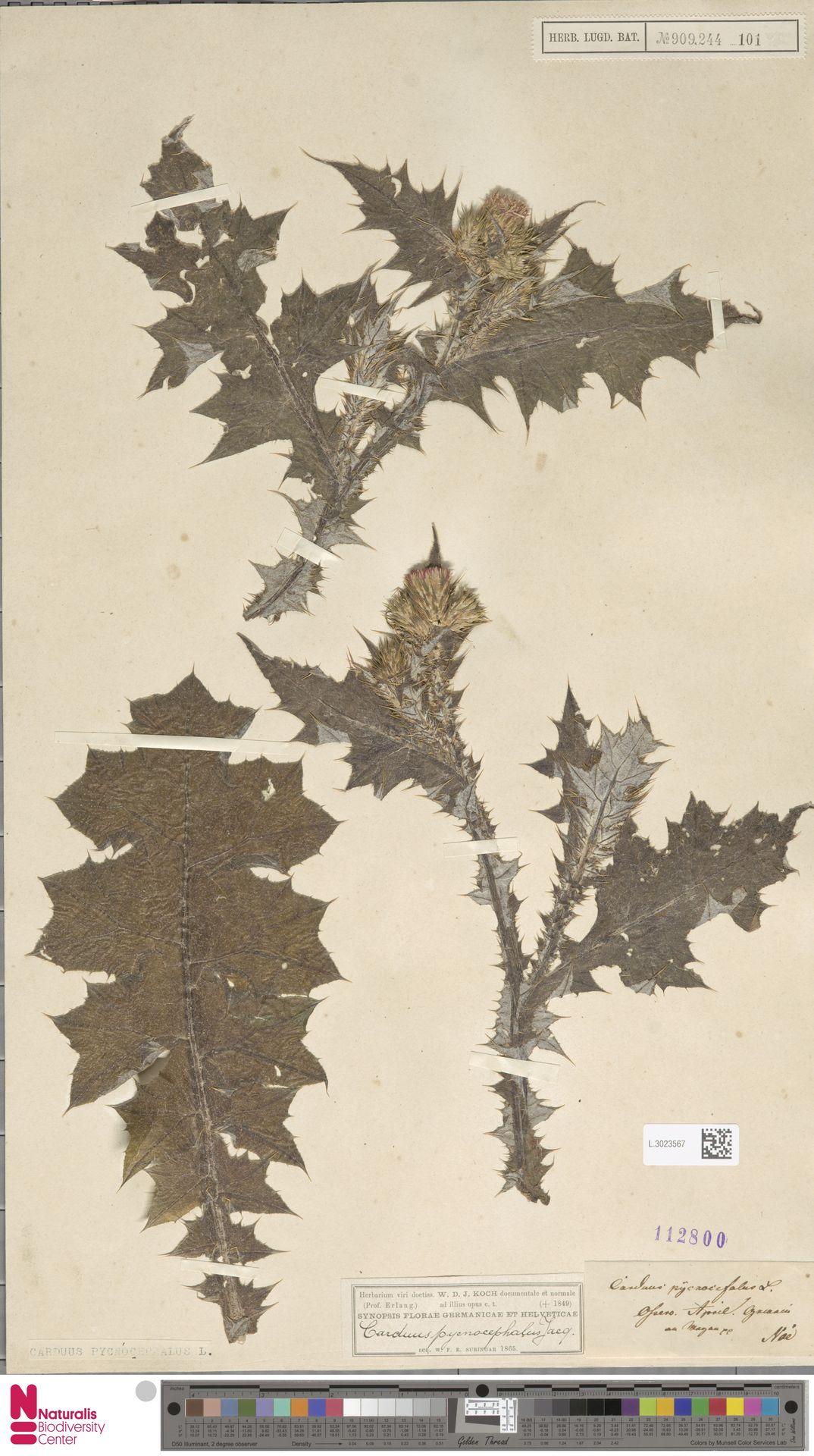 L.3023567 | Carduus pycnocephalus L.