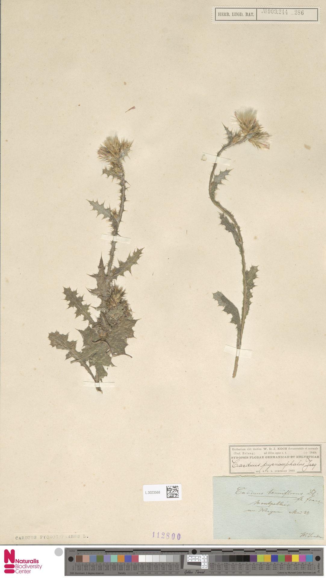 L.3023568 | Carduus pycnocephalus L.