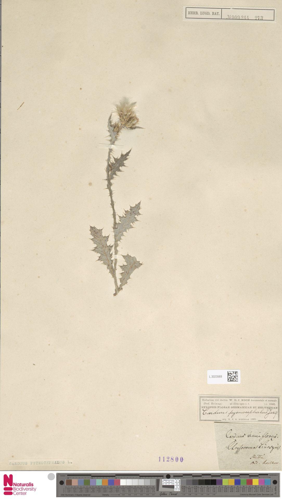 L.3023569 | Carduus pycnocephalus L.
