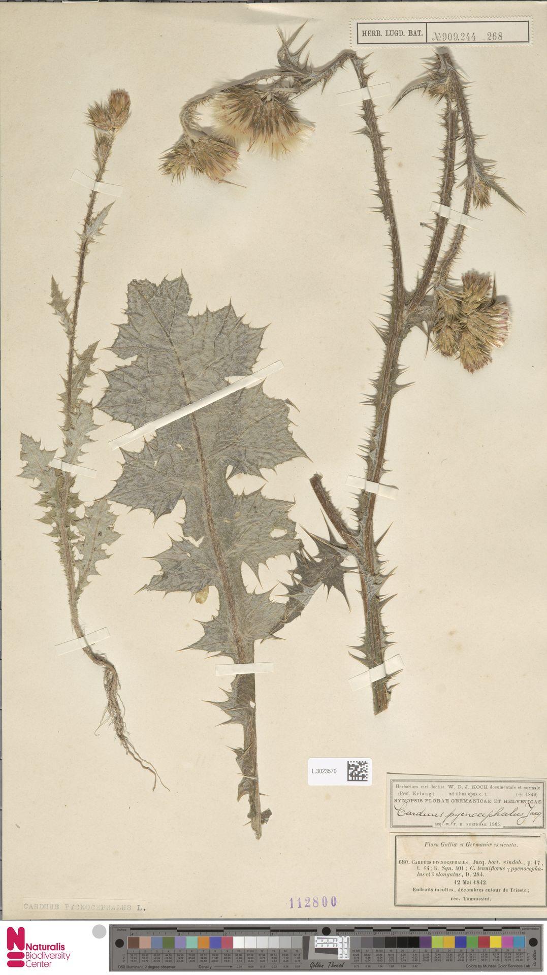 L.3023570 | Carduus pycnocephalus L.