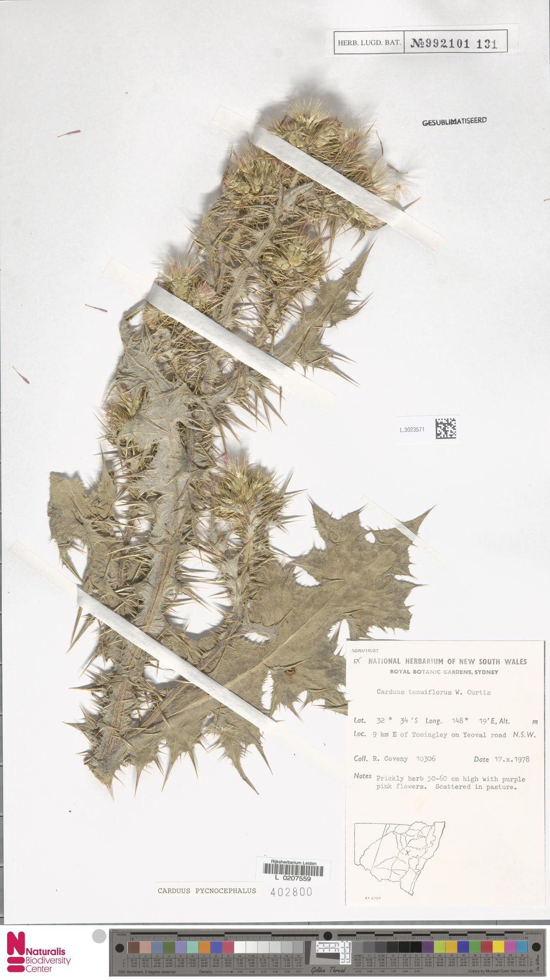 L.3023571 | Carduus pycnocephalus L.