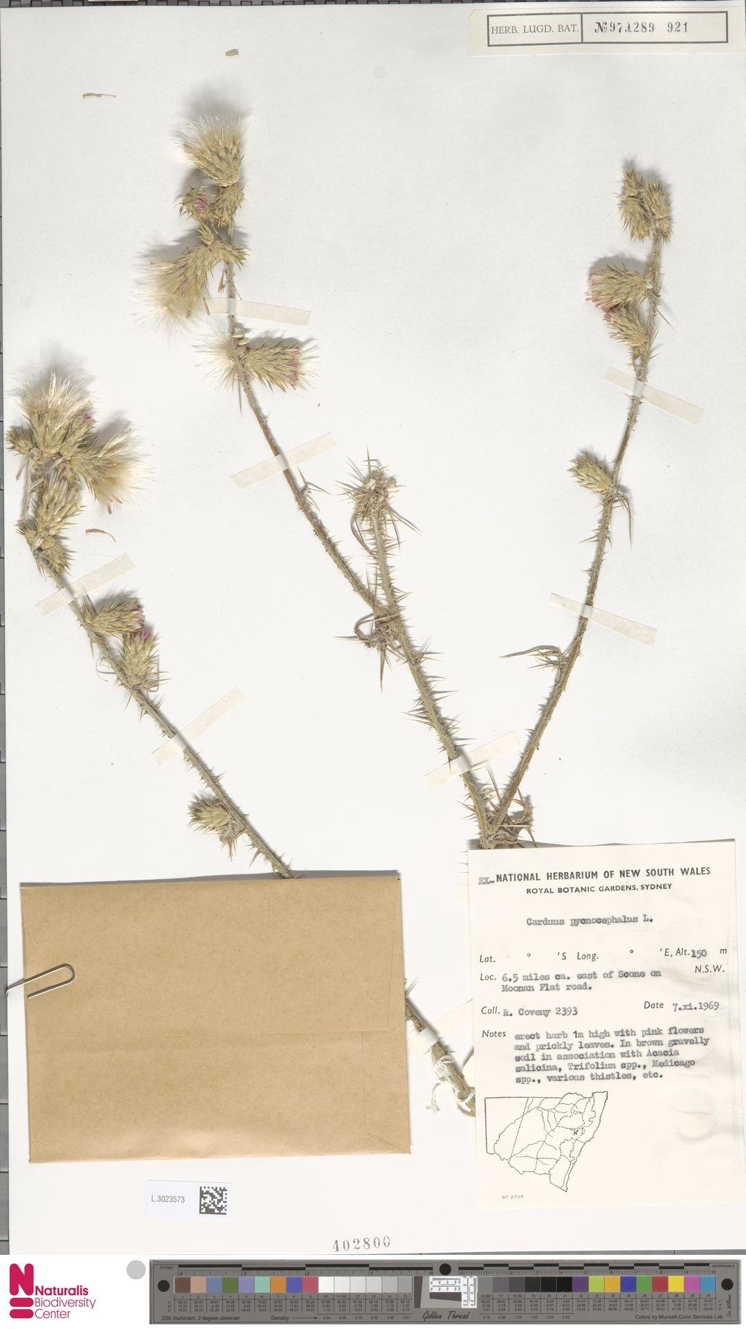 L.3023573 | Carduus pycnocephalus L.