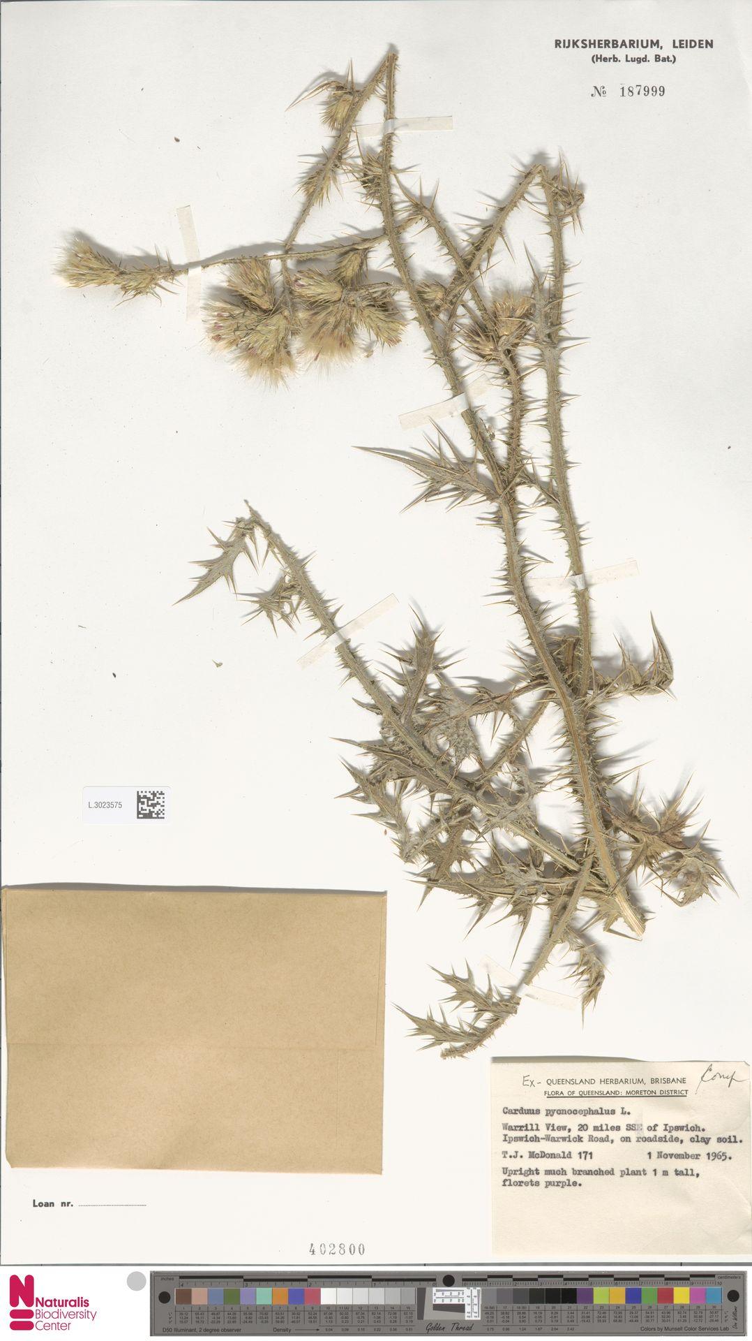 L.3023575 | Carduus pycnocephalus L.