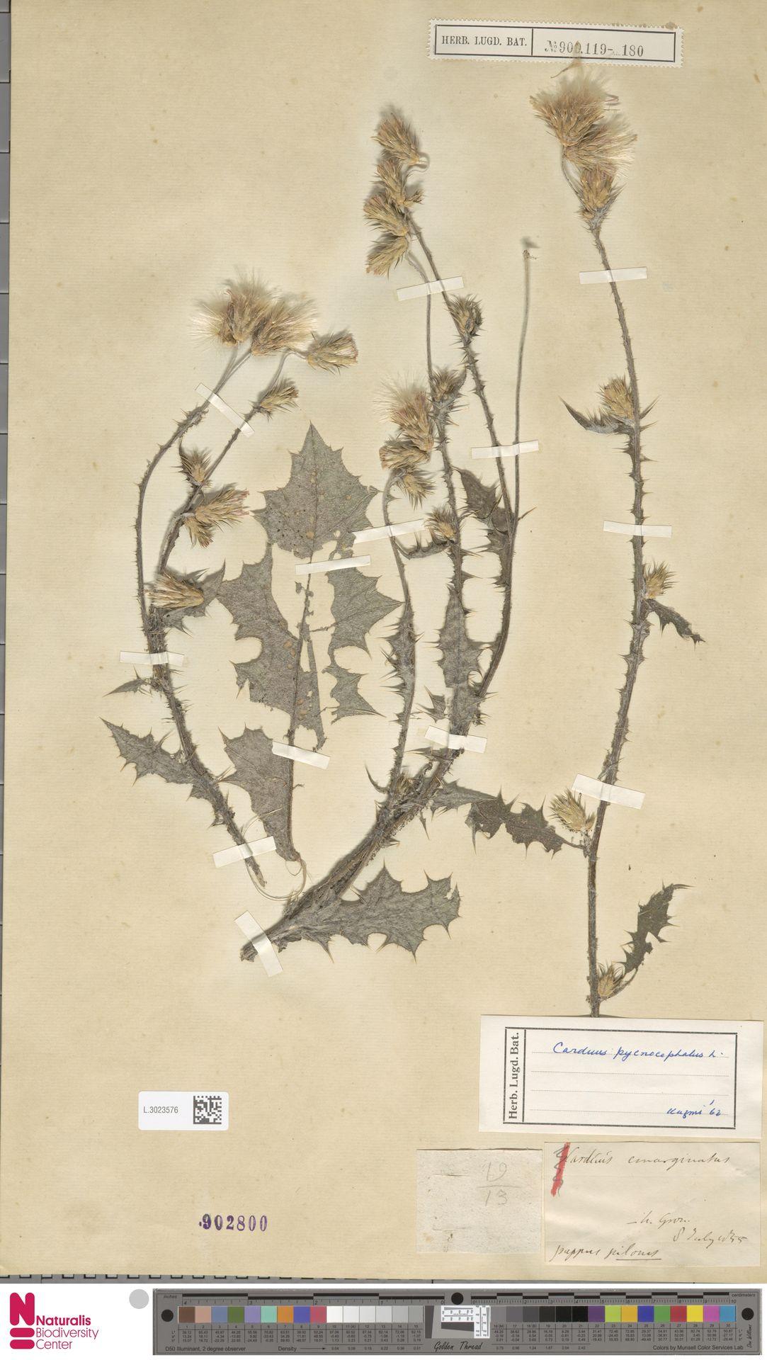 L.3023576 | Carduus pycnocephalus L.