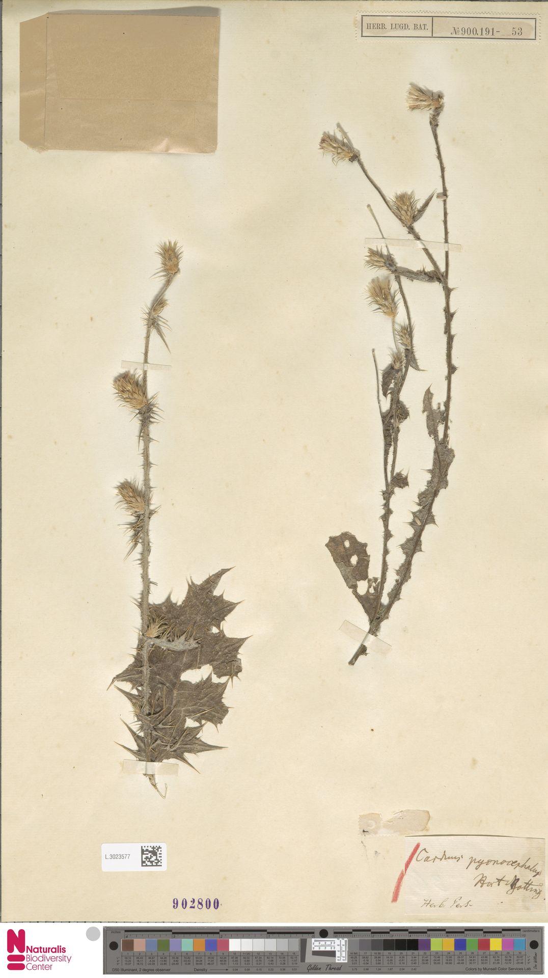 L.3023577 | Carduus pycnocephalus L.