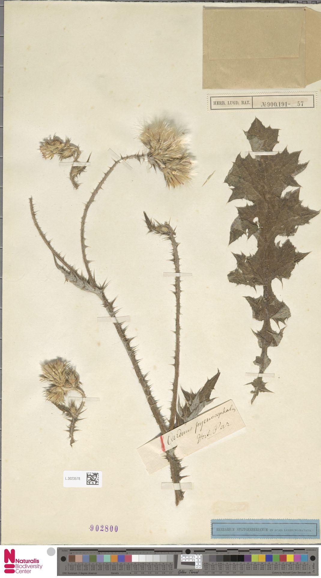L.3023578 | Carduus pycnocephalus L.