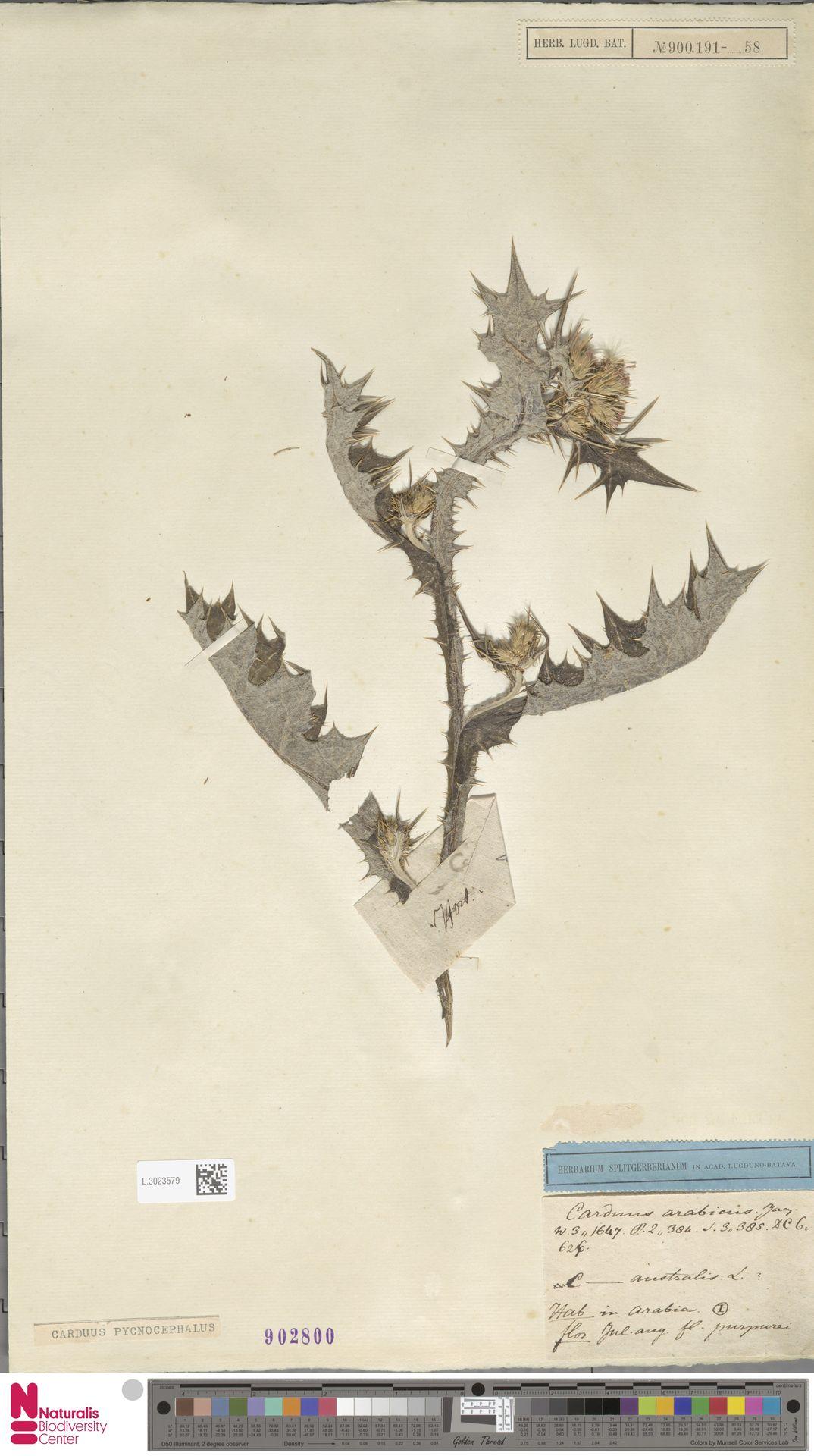 L.3023579 | Carduus pycnocephalus L.
