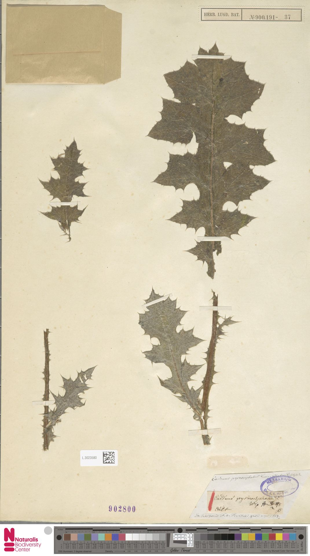 L.3023580 | Carduus pycnocephalus L.
