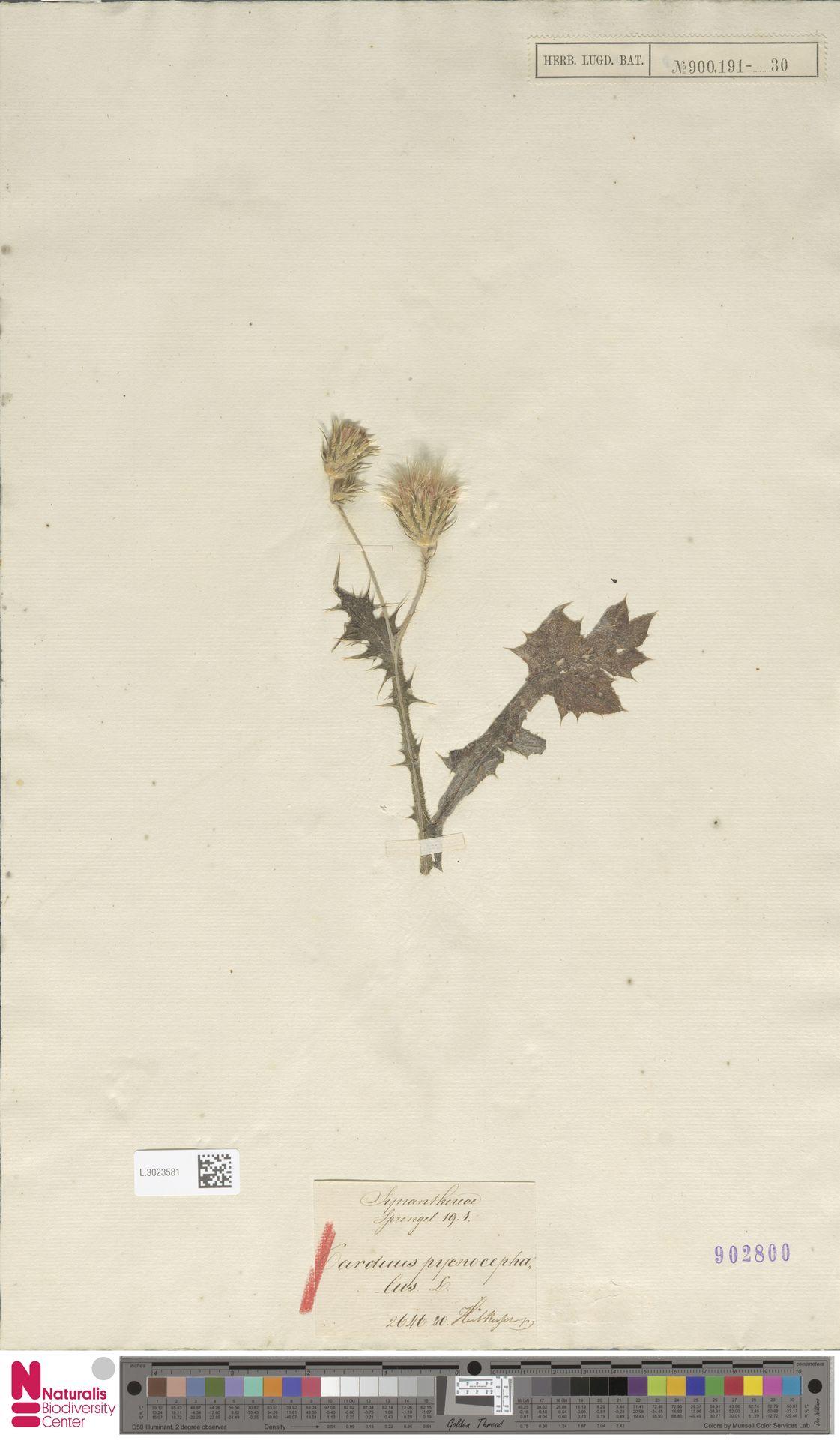 L.3023581 | Carduus pycnocephalus L.