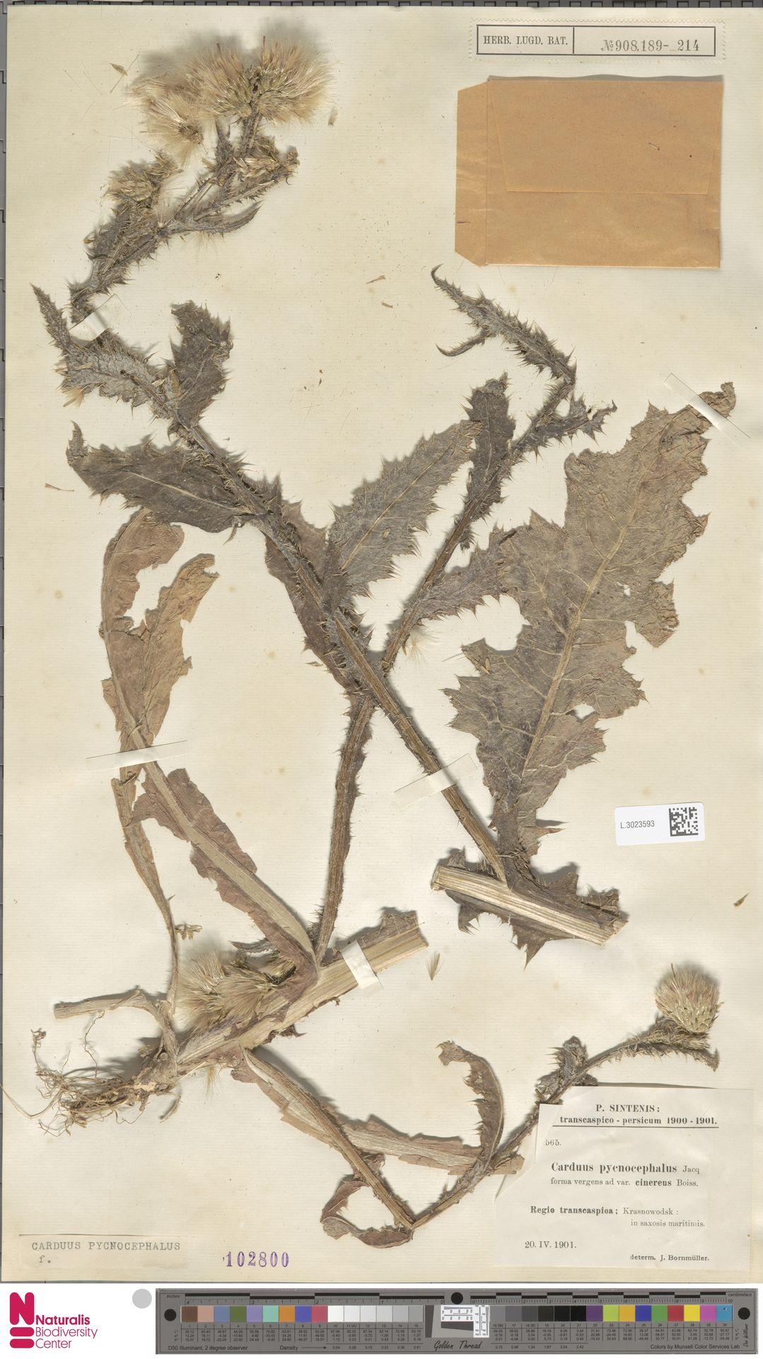 L.3023593 | Carduus pycnocephalus L.