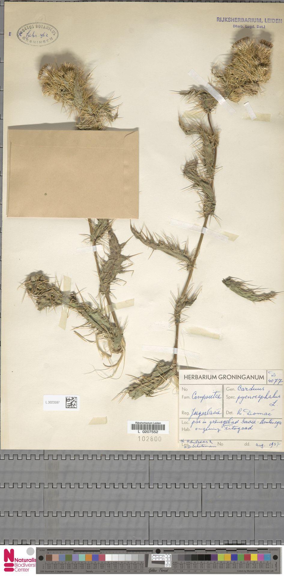 L.3023597 | Carduus pycnocephalus L.