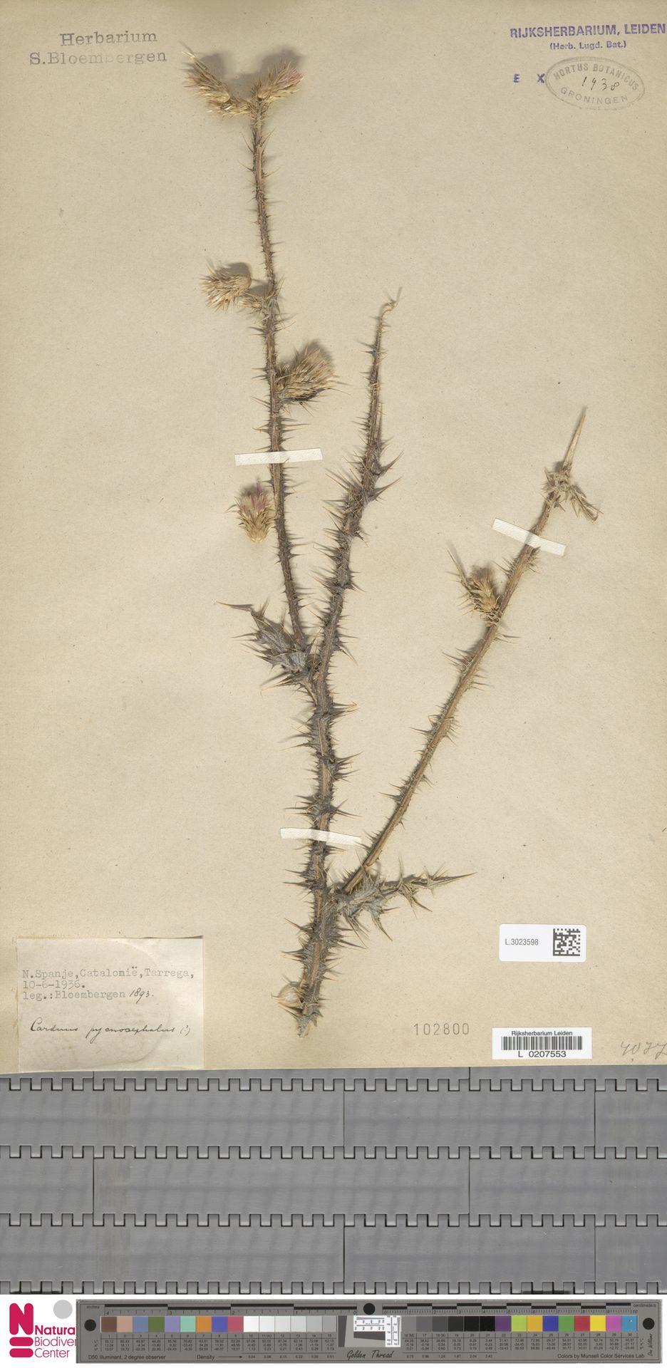 L.3023598 | Carduus pycnocephalus L.
