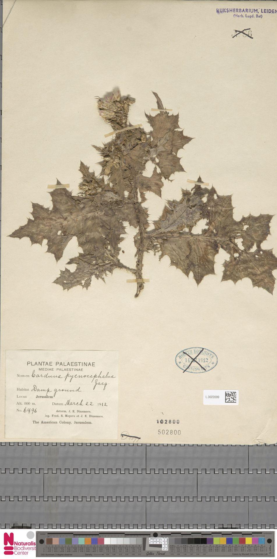 L.3023599 | Carduus pycnocephalus L.