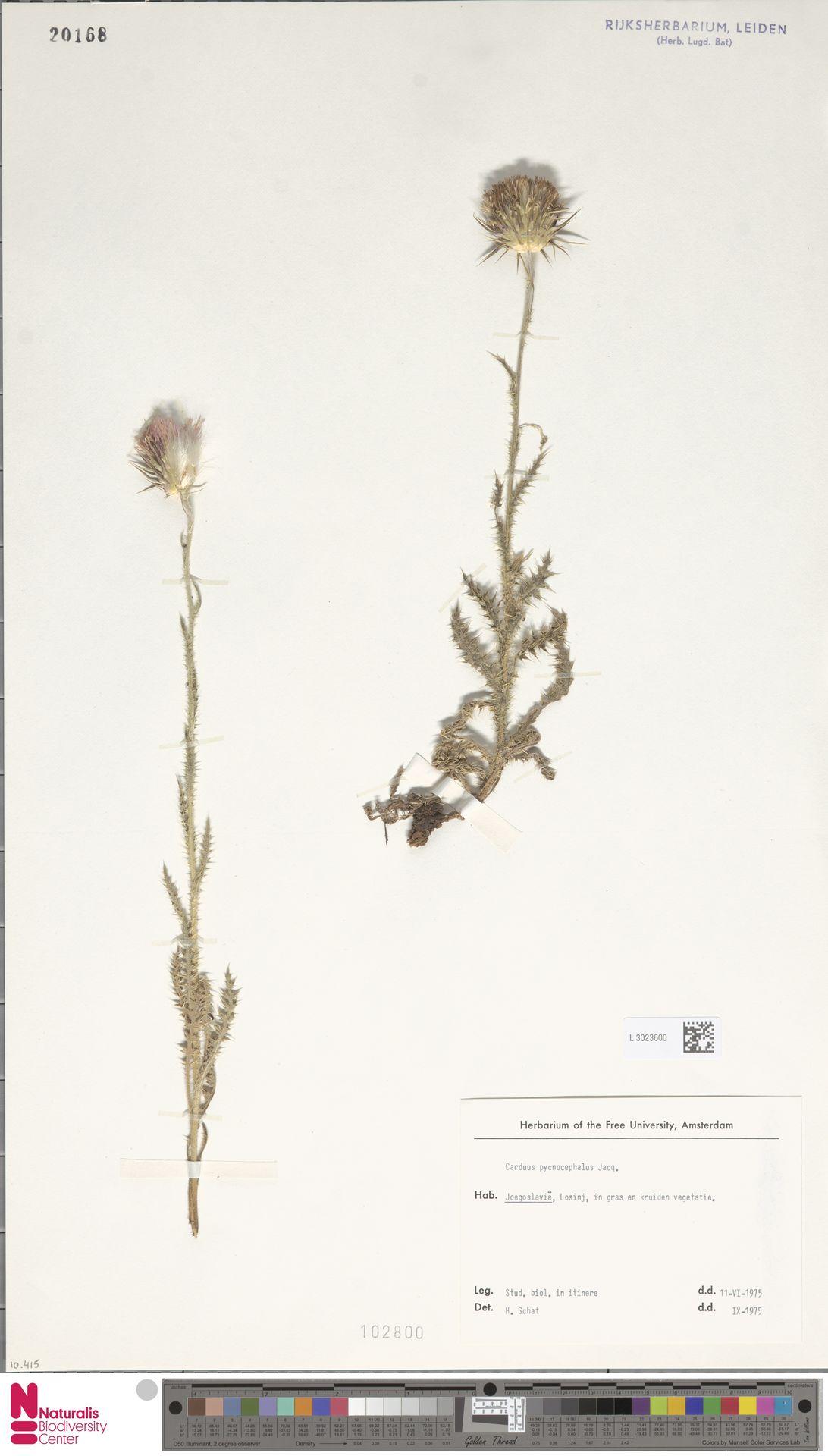 L.3023600   Carduus pycnocephalus L.