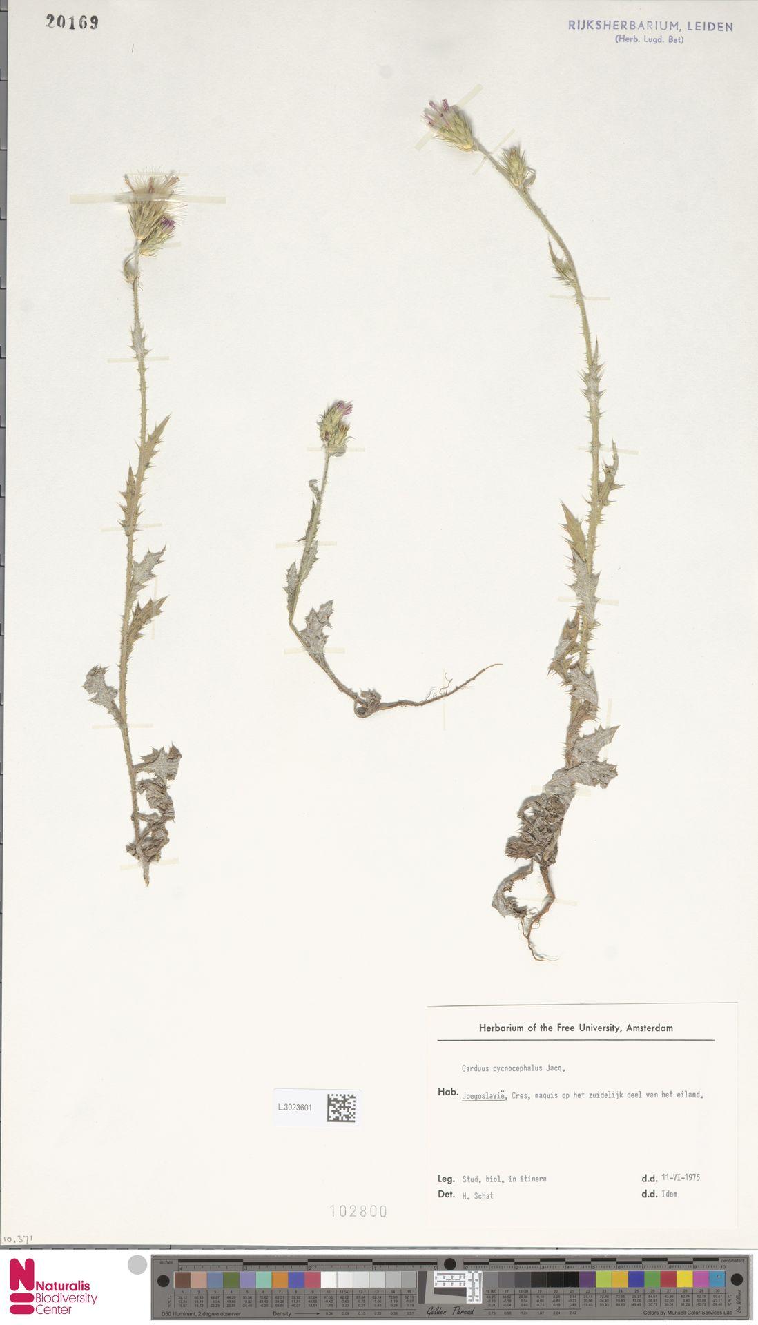 L.3023601 | Carduus pycnocephalus L.