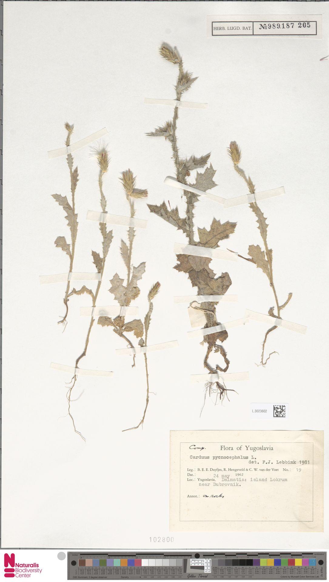 L.3023602 | Carduus pycnocephalus L.